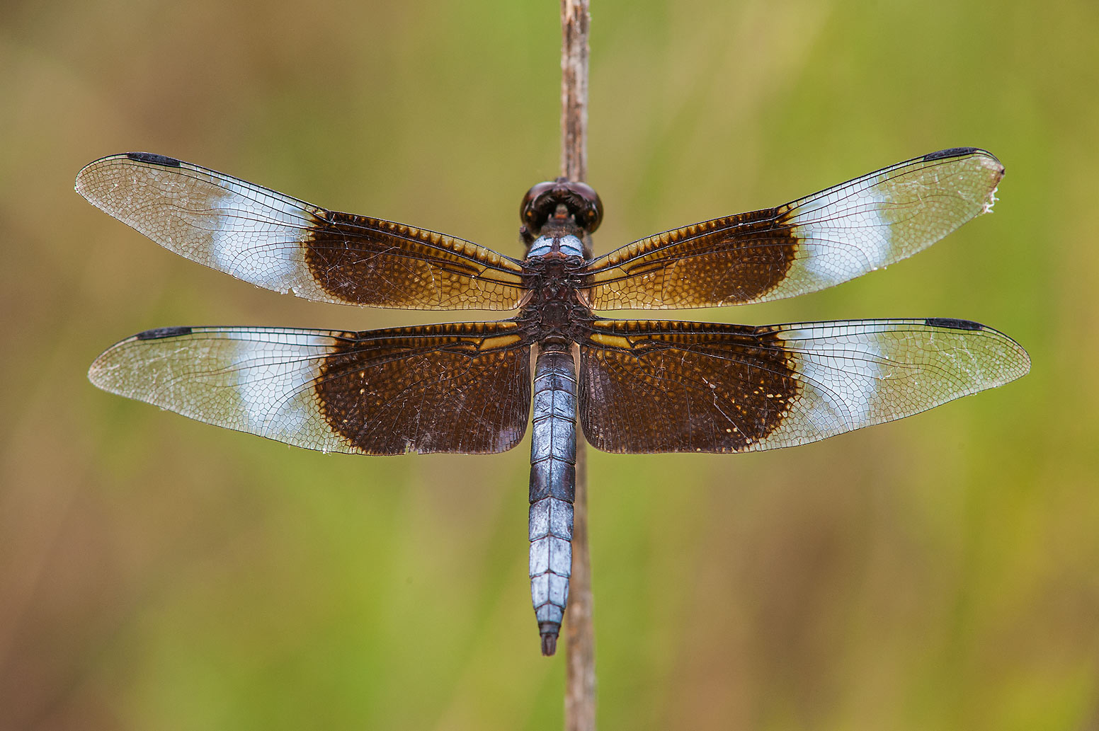 Widow Skimmer (Libellula luctuosa) dragonfly...lines in Lake Bryan Park. Bryan, Texas