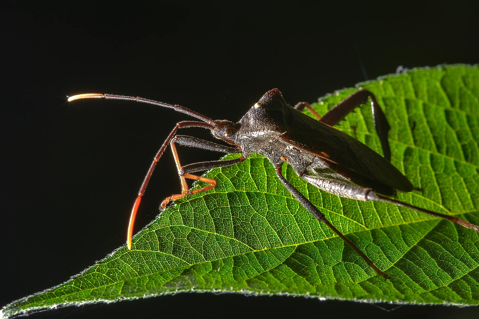 Leaf footed bug on a leaf in Washington-on-the...State Historic Site. Washington, Texas