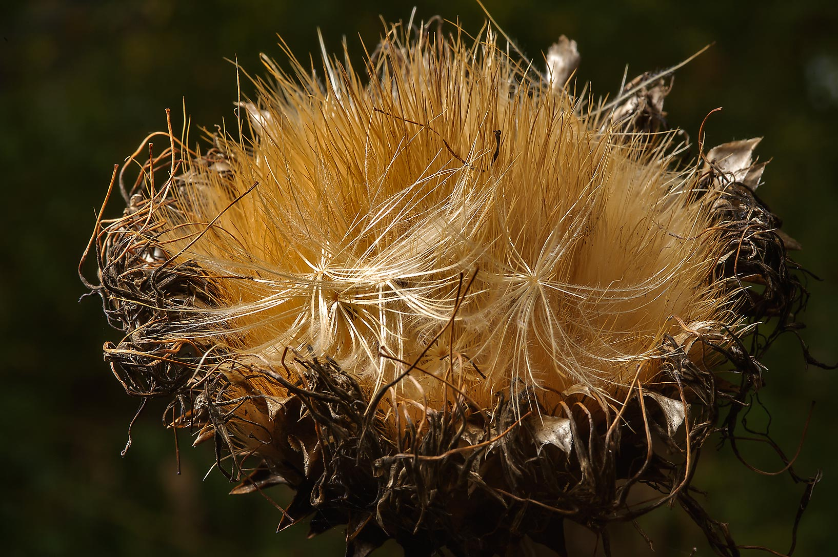 Artichoke seed head (Cynara cardunculus) in Antique Rose Emporium. Independence, Texas