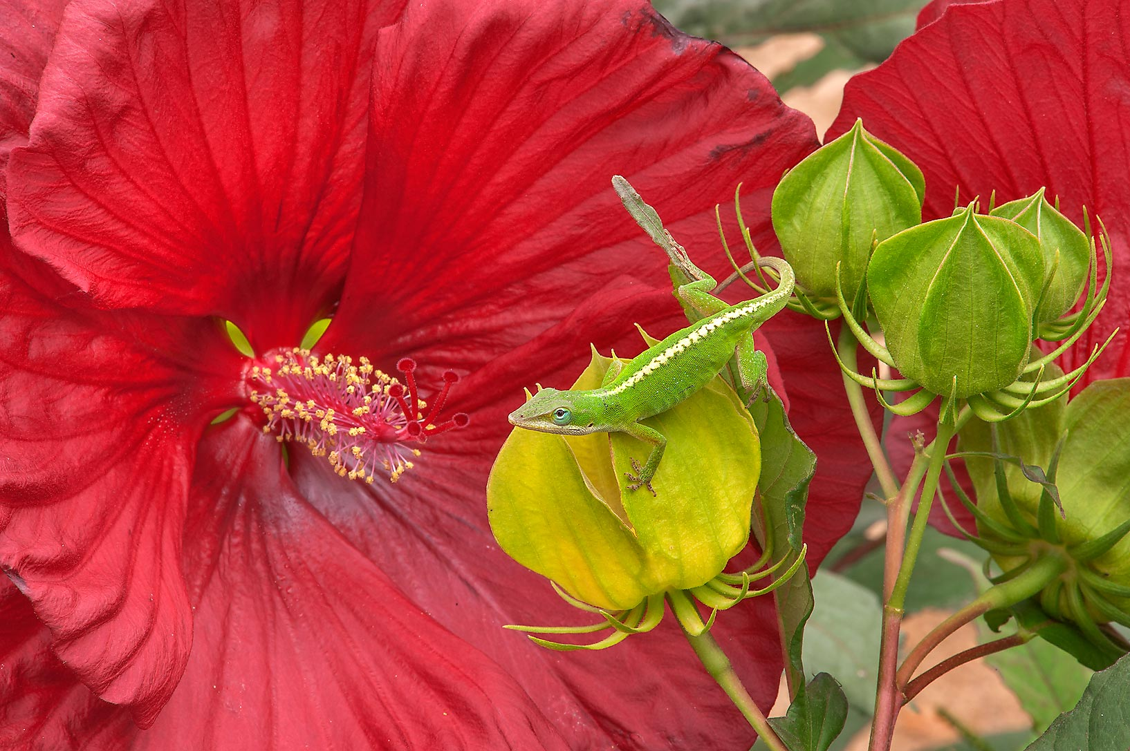 Hibiscus with a green anole lizard in Antique Rose Emporium. Independence, Texas