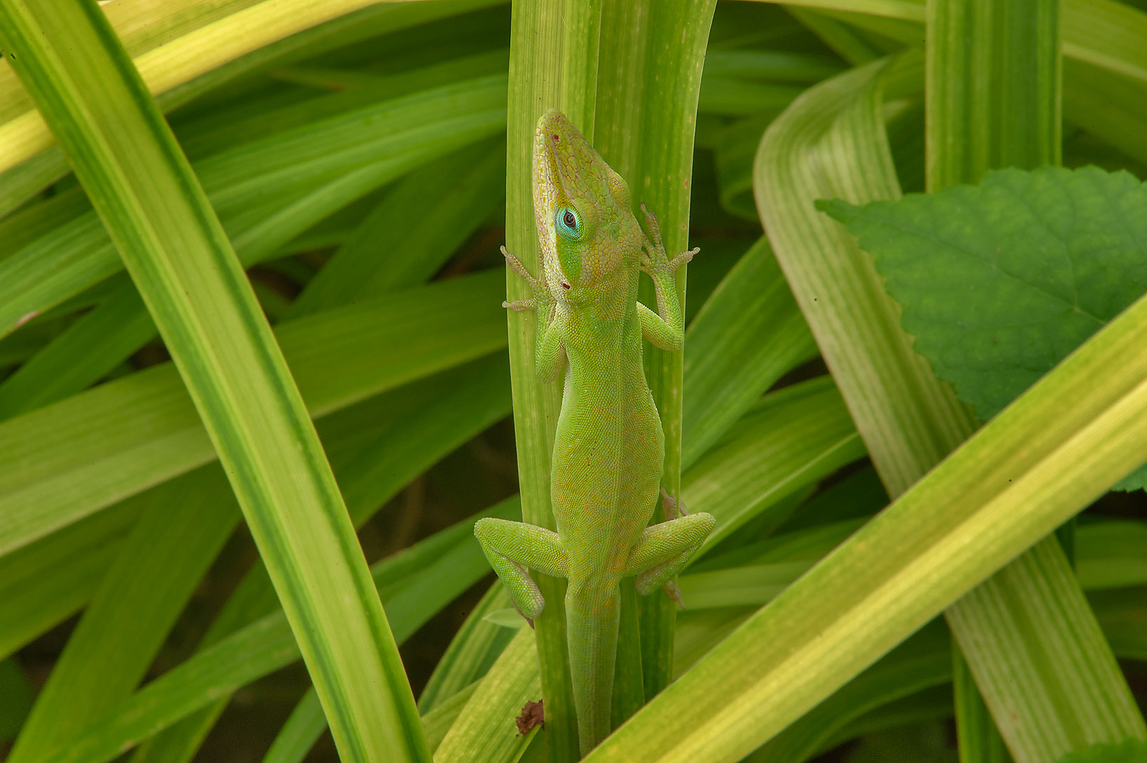 Green anole lizard hiding in grass in Antique Rose Emporium. Independence, Texas