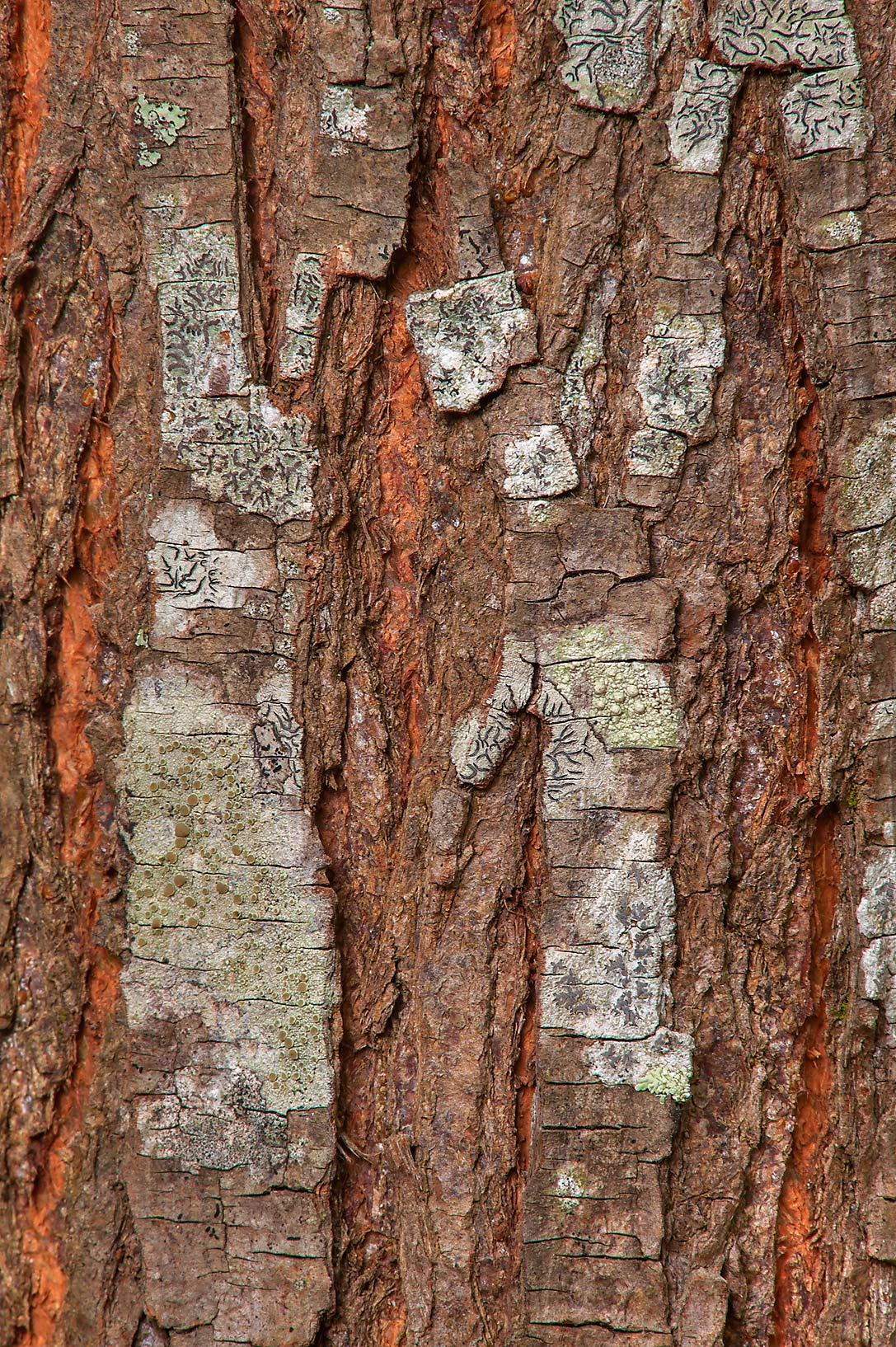 Brown tree bark on Racoon Run Trail in Lick Creek Park. College Station, Texas