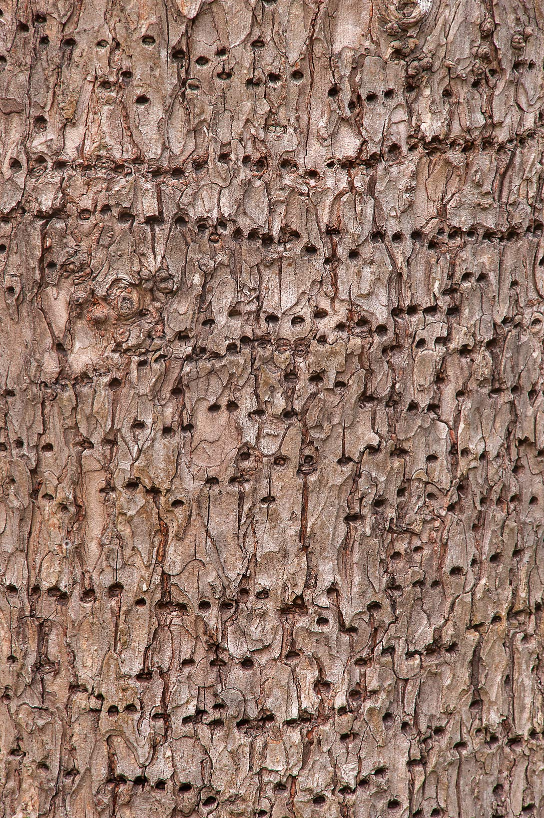 Tree with sapsucker holes (sapwells) on Racoon...Creek Park. College Station, Texas