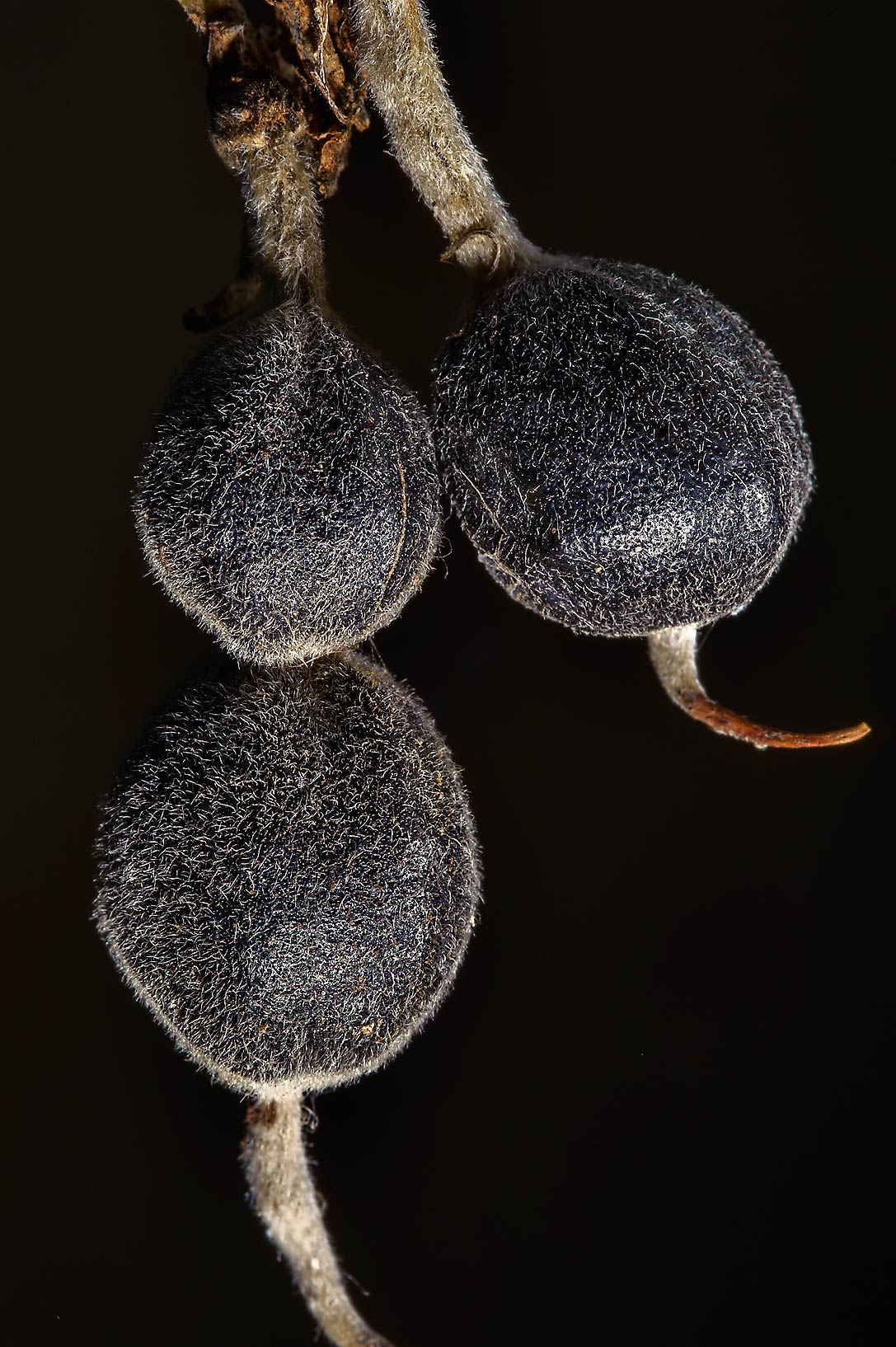 Black seeds pods of Eve's Necklace (Sophora...Pen Creek Park. College Station, Texas
