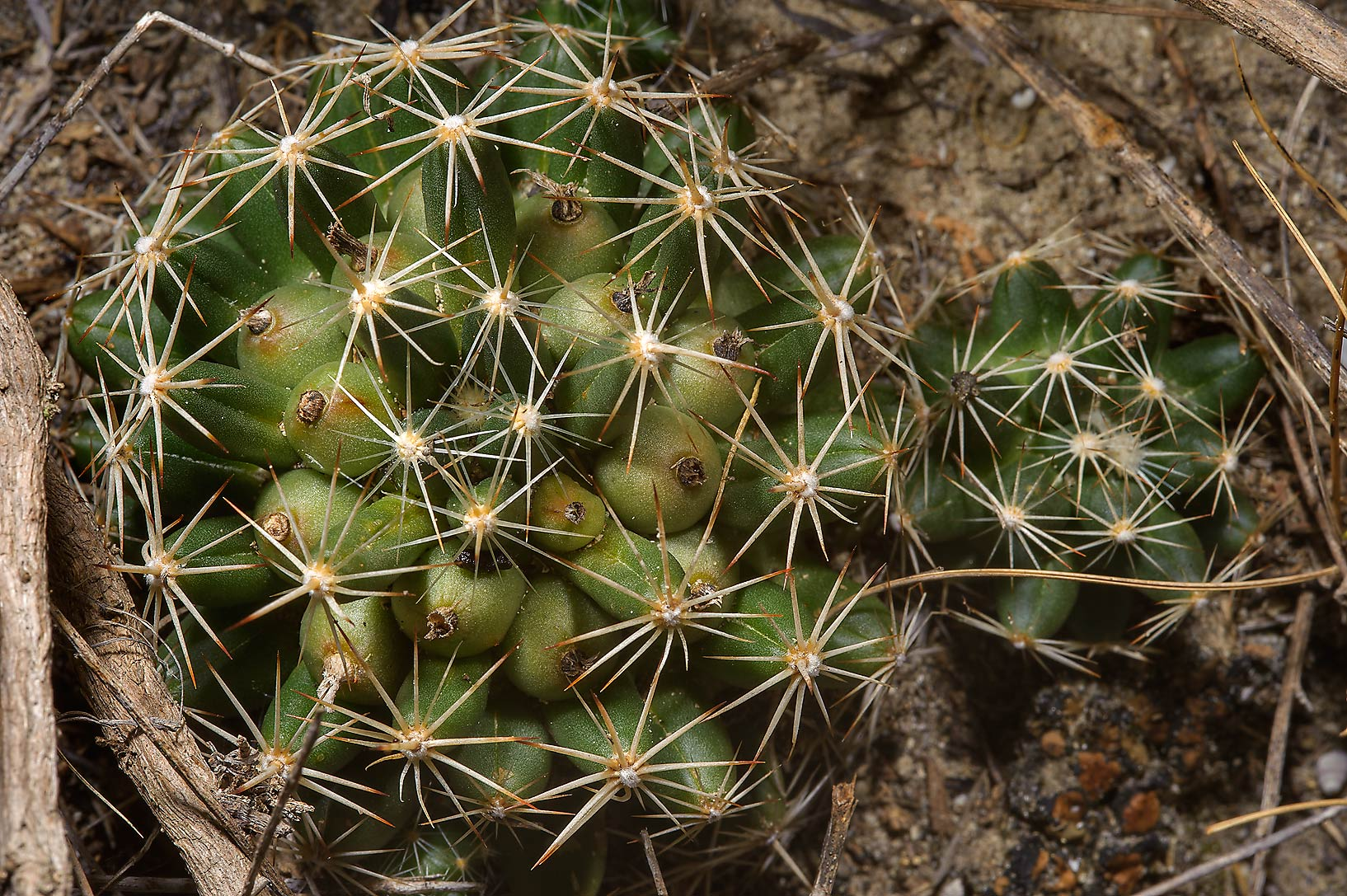 Circular clumps of nipple cactus (Missouri...at FM Rd. 3090 near Navasota. Texas