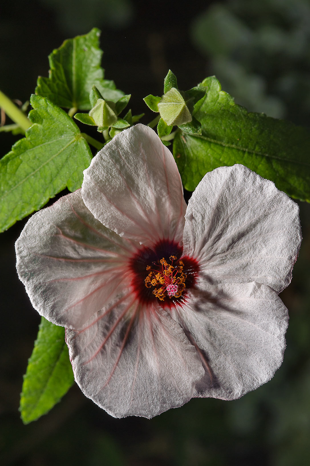 Marsh mallow (Halbert-leaved hibiscus, Hibiscus...Rose Emporium. Independence, Texas