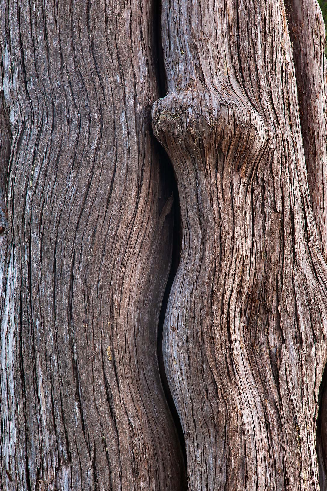 Texture of a cypress trunk in City Cemetery. Bryan, Texas