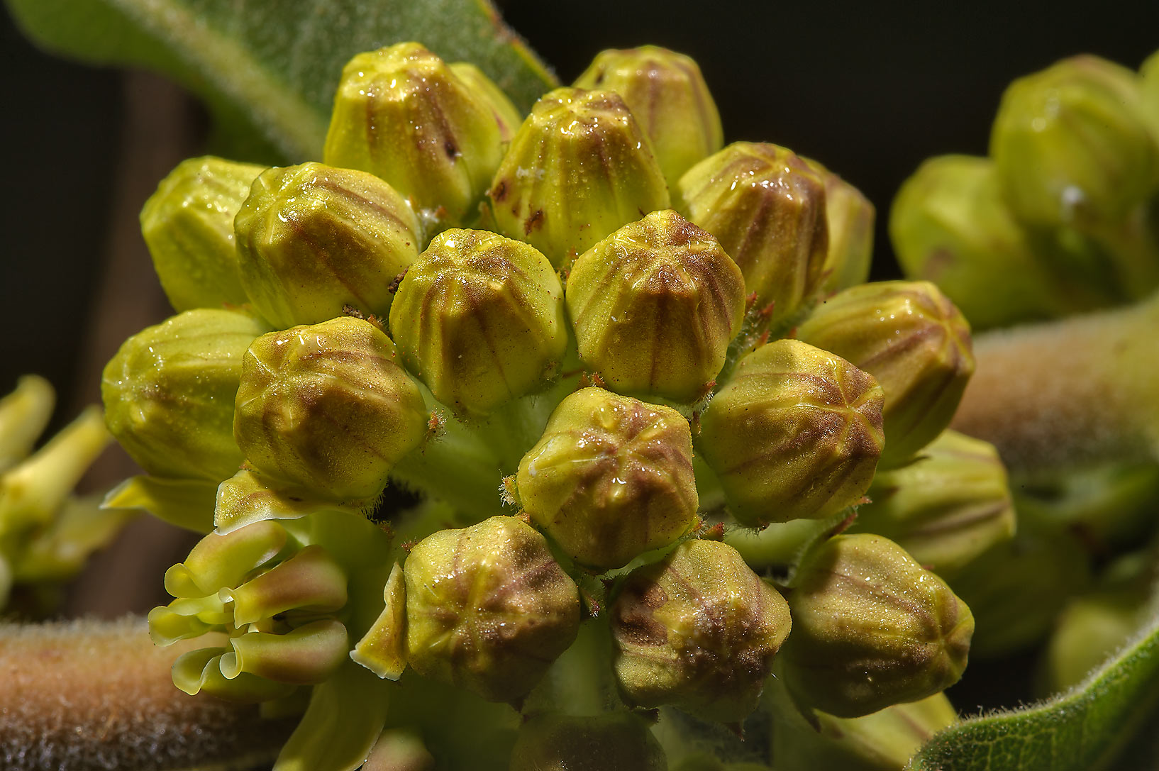Flower buds of green milkweed (Asclepias obovata...Creek Park. College Station, Texas