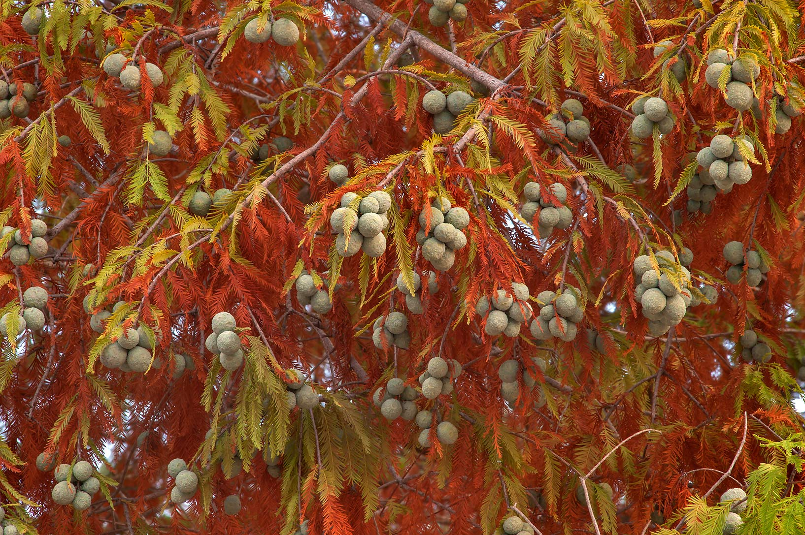 Marsh cypress with cones in TAMU Horticultural...M University. College Station, Texas