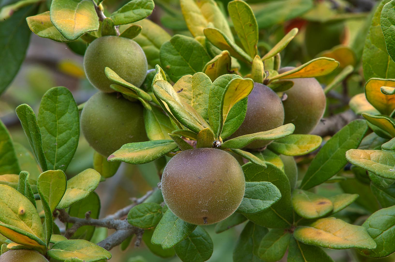 Texas persimmon (Chapote, Diospyros texana) in...M University. College Station, Texas