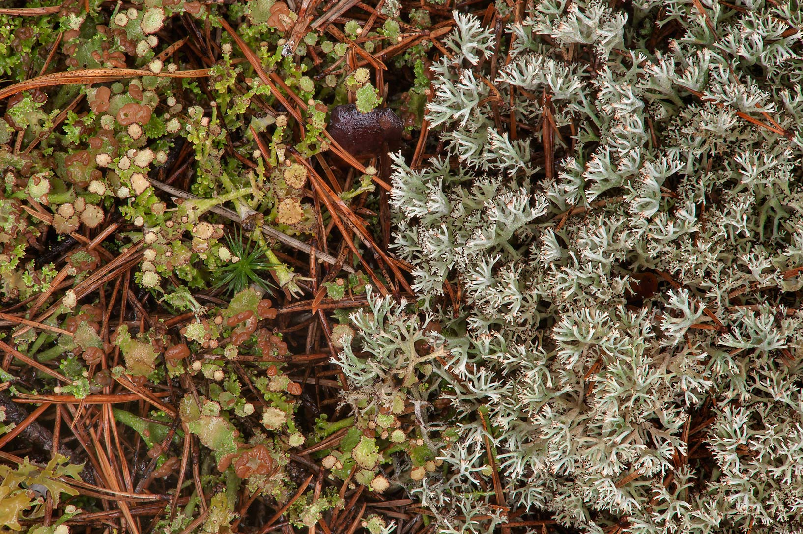 Reindeer lichen (Cladonia portentosa) and trumpet...miles north from St.Petersburg. Russia