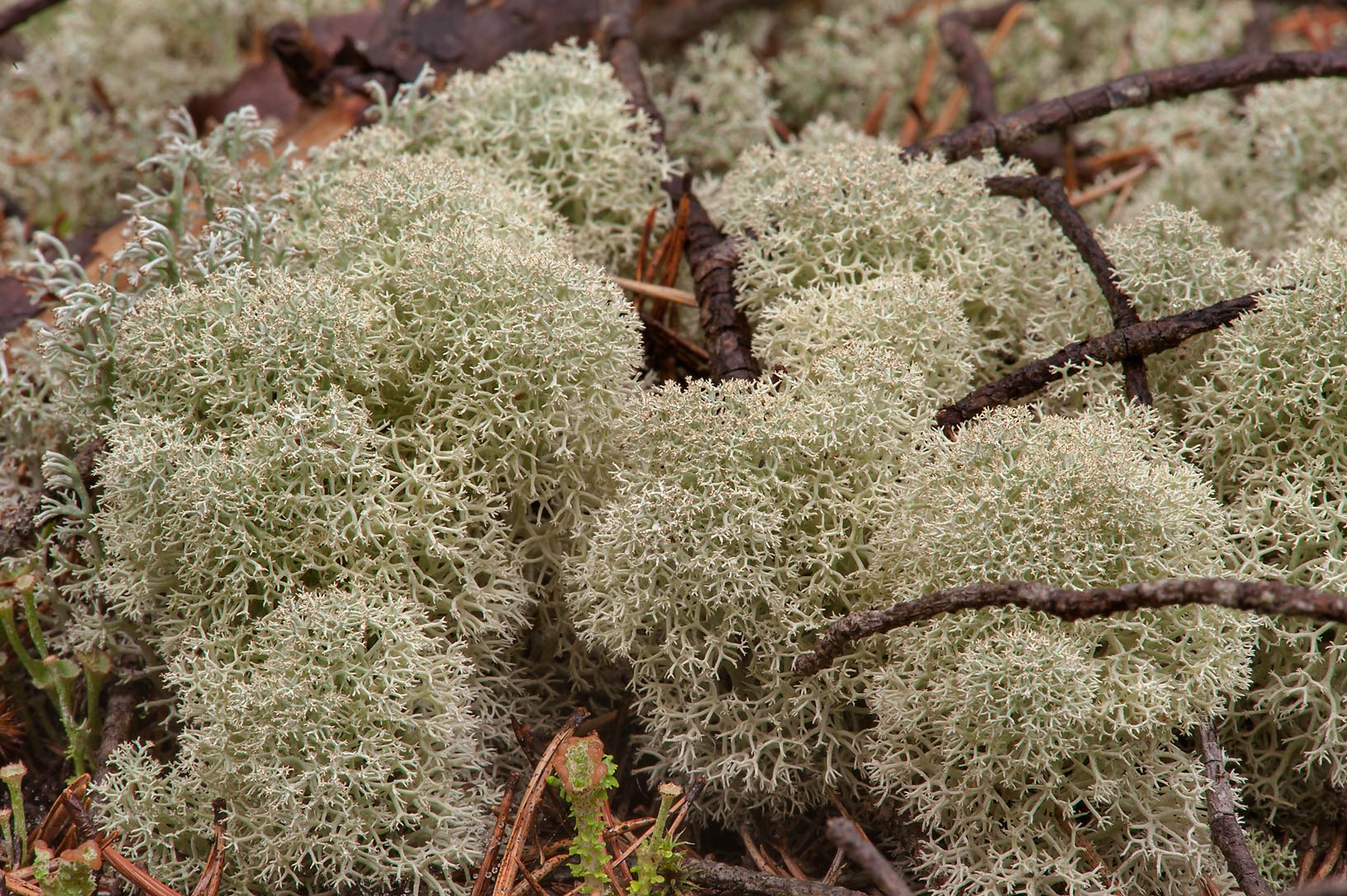 Mats of reindeer lichen (Cladonia portentosa) in...miles north from St.Petersburg. Russia