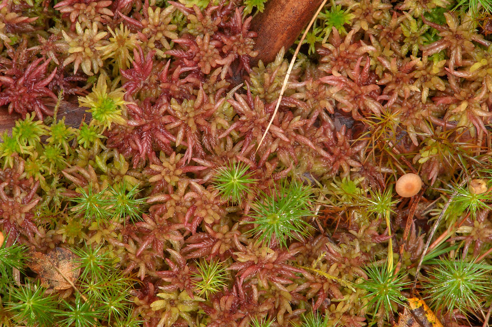 Brownish mosses in Kannelyarvi, 45 miles north from St.Petersburg. Russia