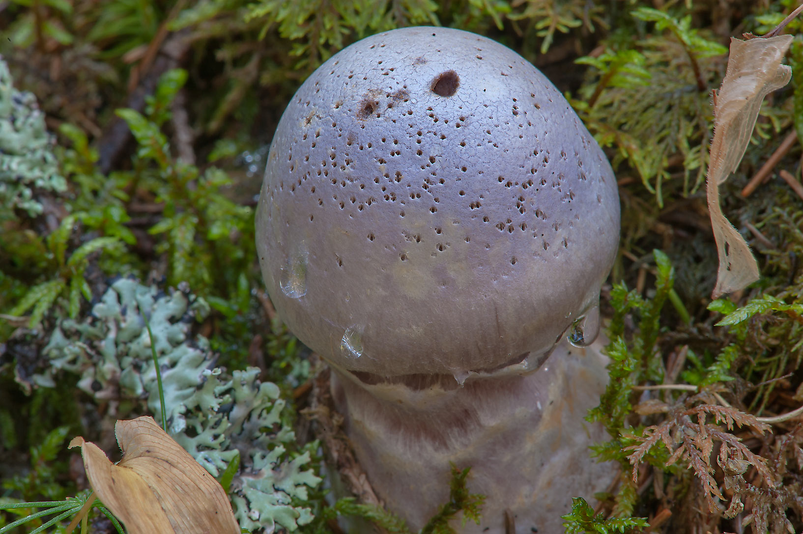 Gassy webcap mushroom (Cortinarius traganus) in...miles north from St.Petersburg. Russia