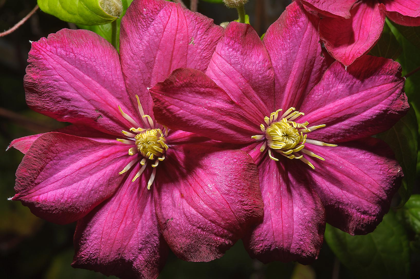 Pink clematis in Botanic Gardens of Komarov Botanical Institute. St.Petersburg, Russia