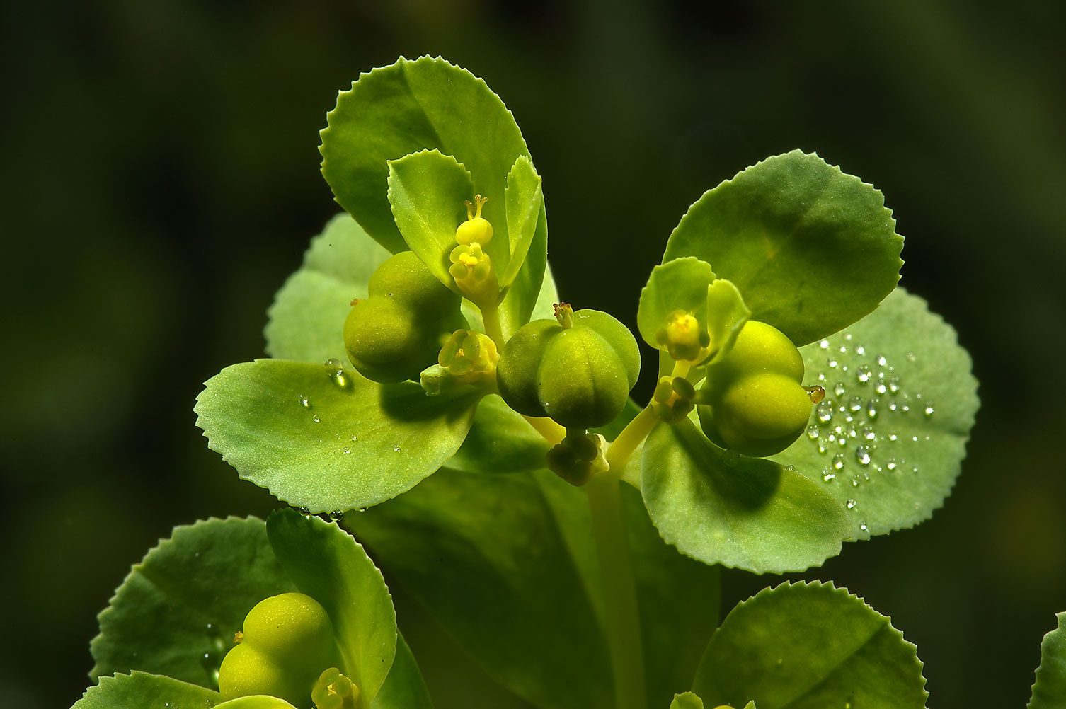 Green spurge in Botanic Gardens of Komarov Botanical Institute. St.Petersburg, Russia