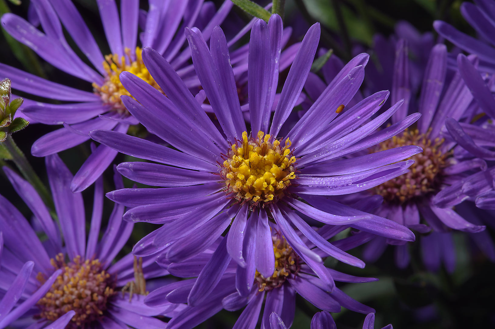 Flowers of blue asters in Botanic Gardens of...Institute. St.Petersburg, Russia