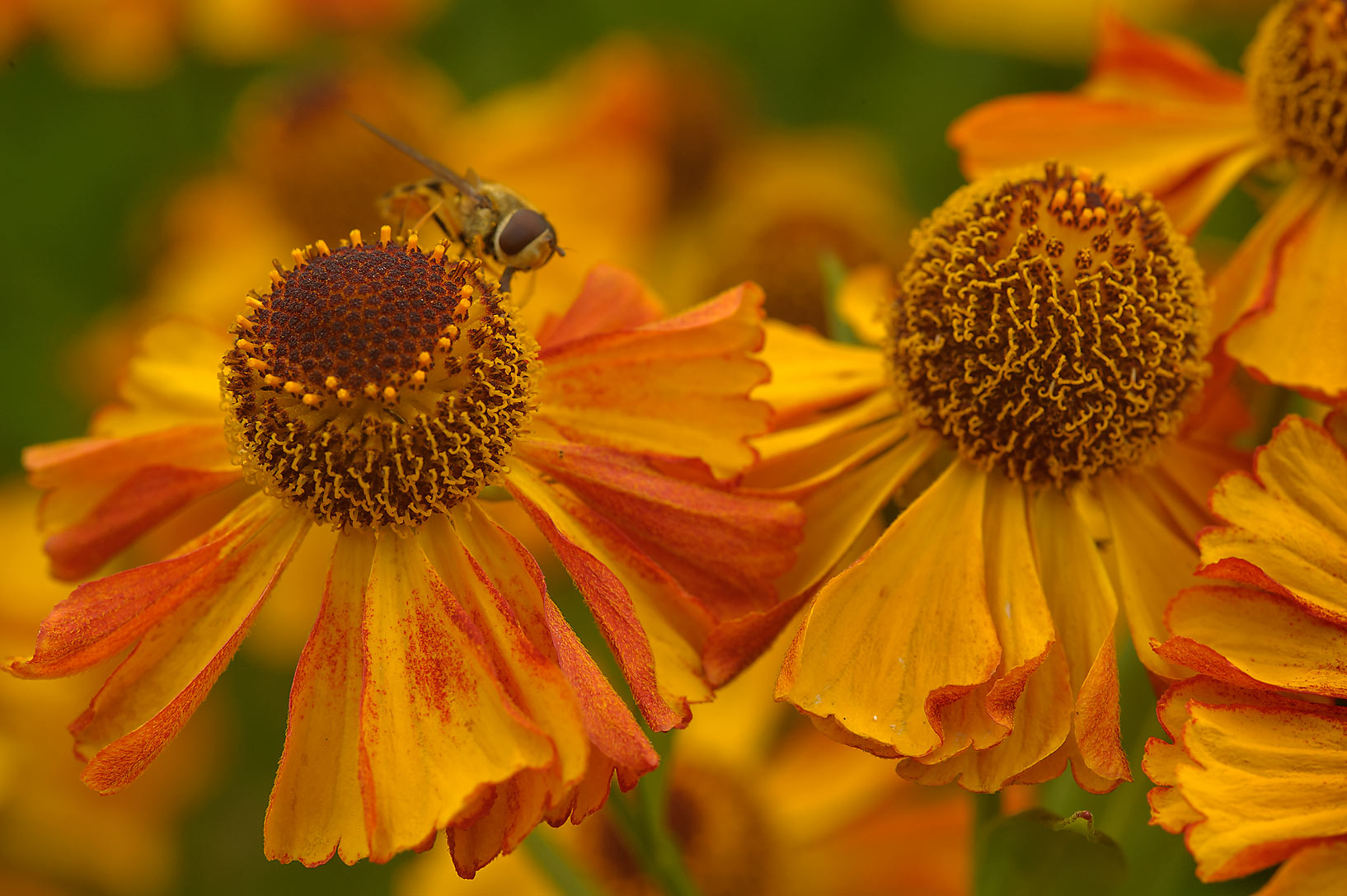 Sneezeweed (Helenium) in Botanic Gardens of...Institute. St.Petersburg, Russia