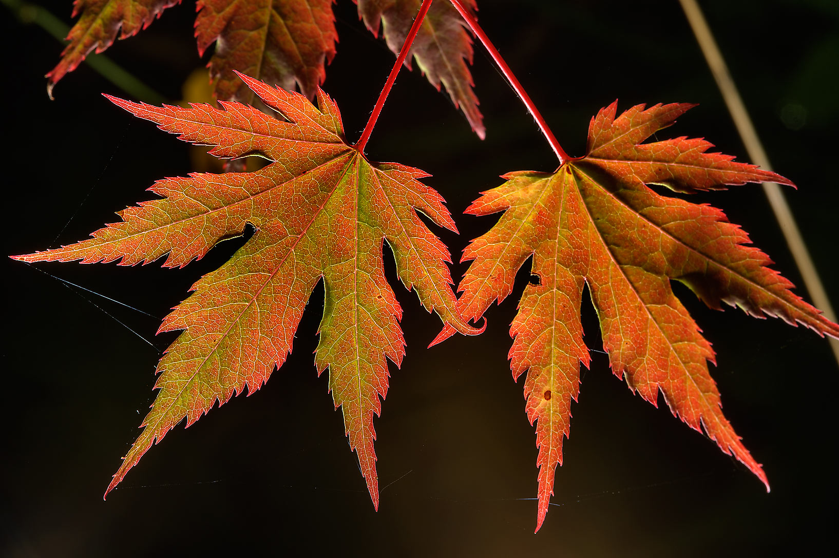 Leaves of Japanese maple in Botanic Gardens of...Institute. St.Petersburg, Russia