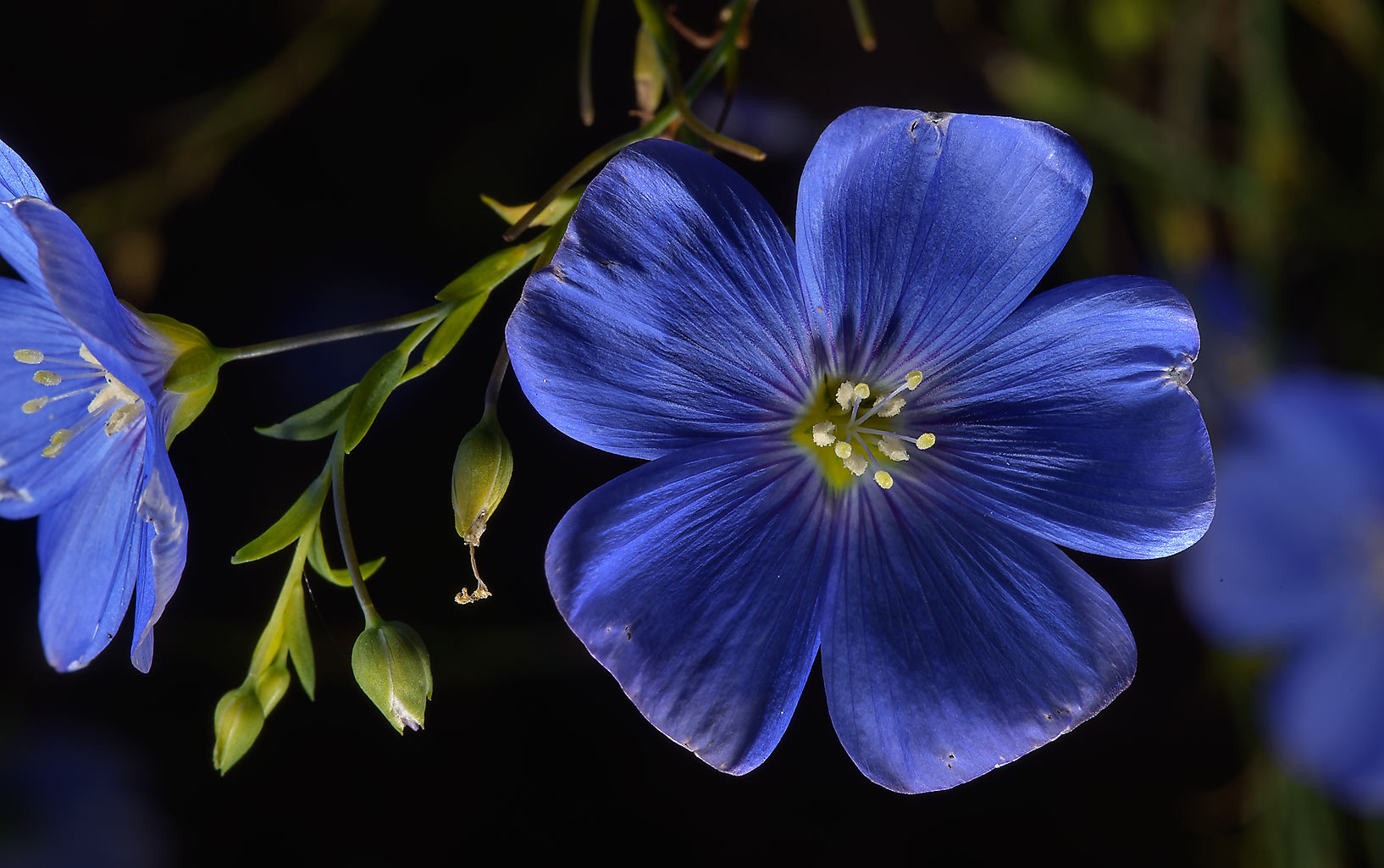 Blue linum (flax) in Botanic Gardens of Komarov Botanical Institute. St.Petersburg, Russia