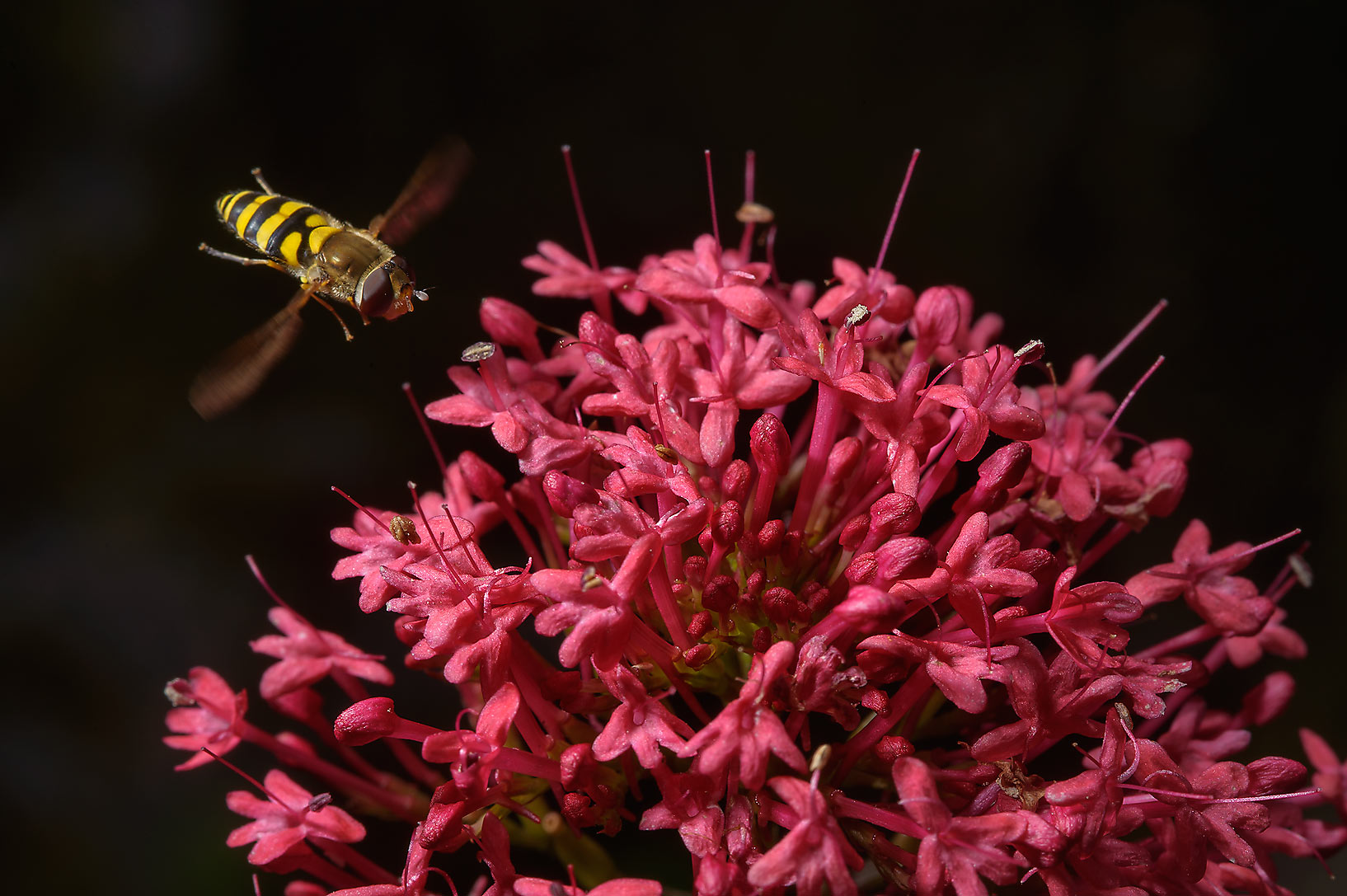 Hoverfly approaching red flowers in Botanic...Institute. St.Petersburg, Russia