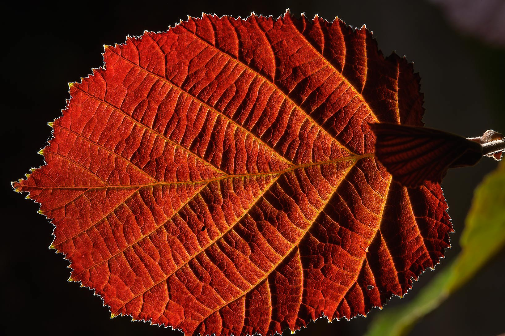 Back lit leaf of alder in Botanic Gardens of...Institute. St.Petersburg, Russia