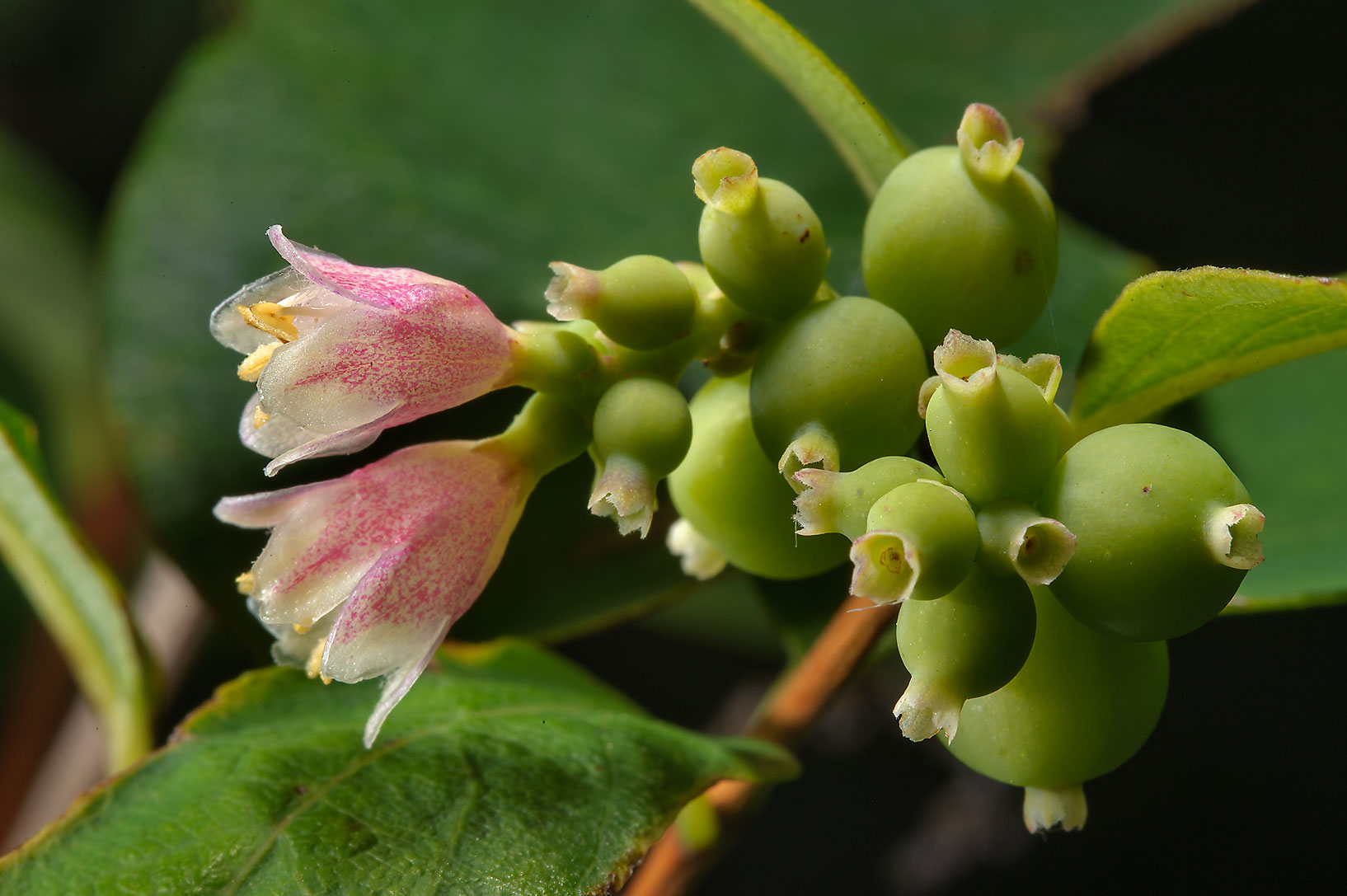 Snowberry (Symphoricarpos) in Botanic Gardens of...Institute. St.Petersburg, Russia