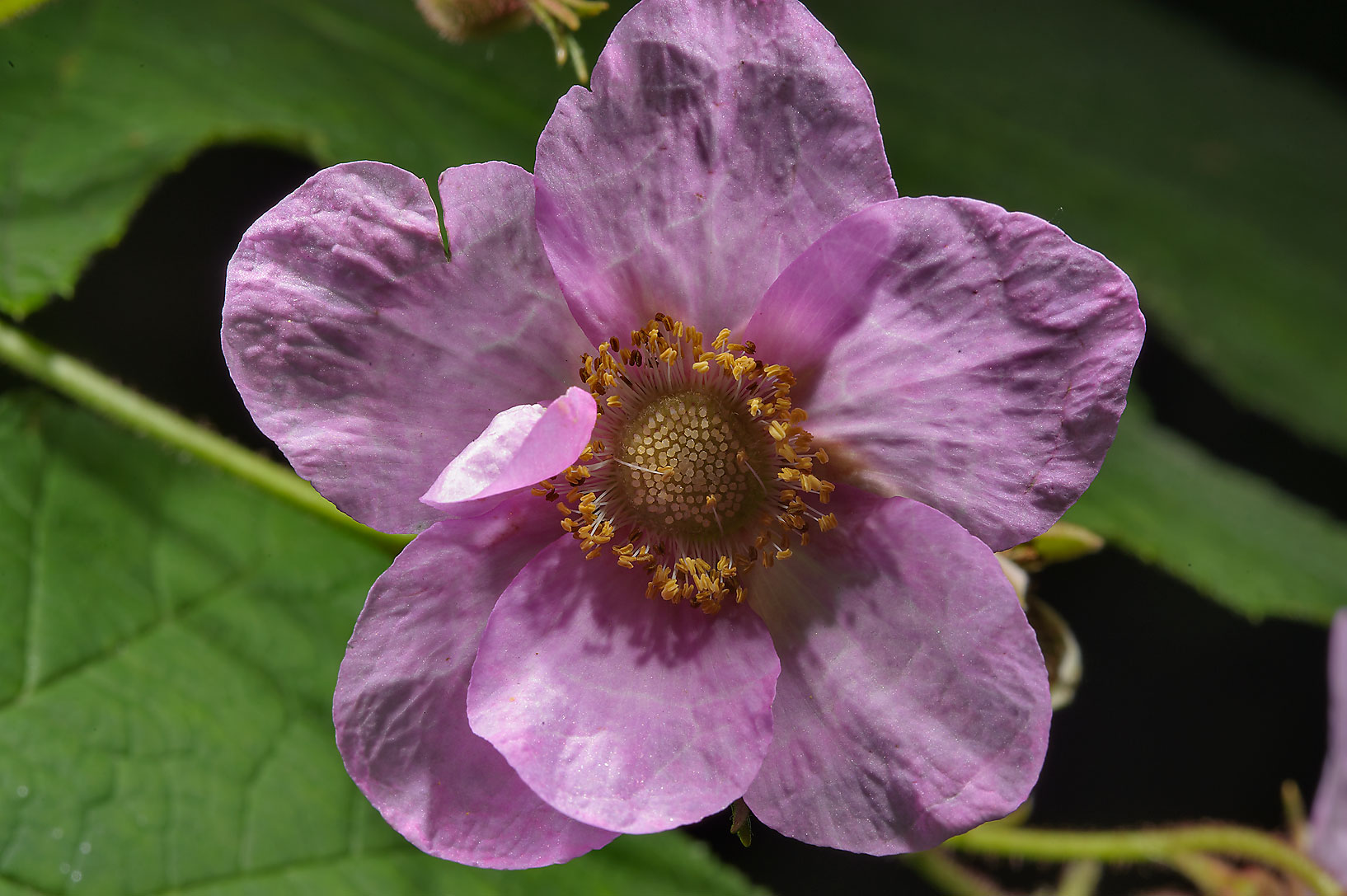 Purple flowering raspberry (Rubus odoratus...Institute. St.Petersburg, Russia