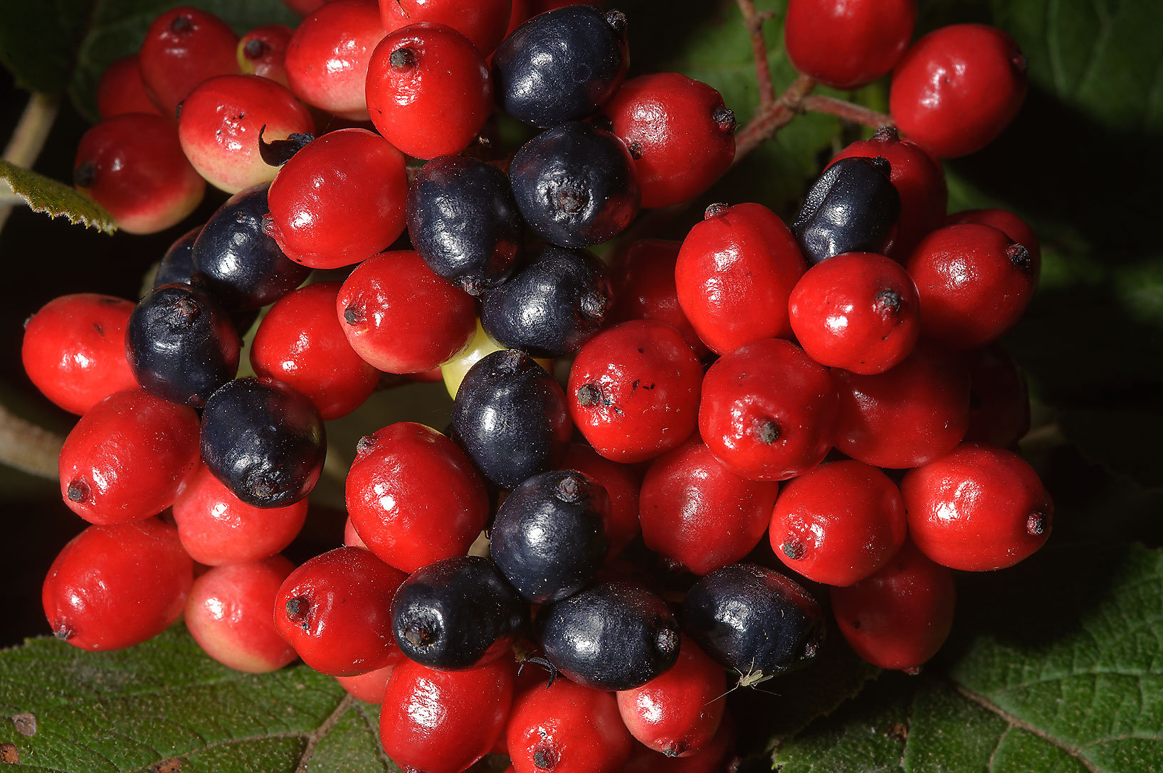 Fruits of Manchurian Viburnum (Viburnum...Institute. St.Petersburg, Russia