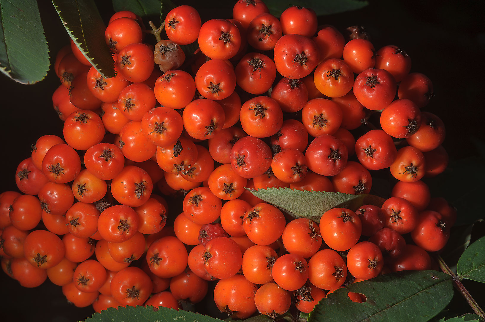 Fruits of Mountain Ash (Sorbus aucuparia, Ryabina...Institute. St.Petersburg, Russia
