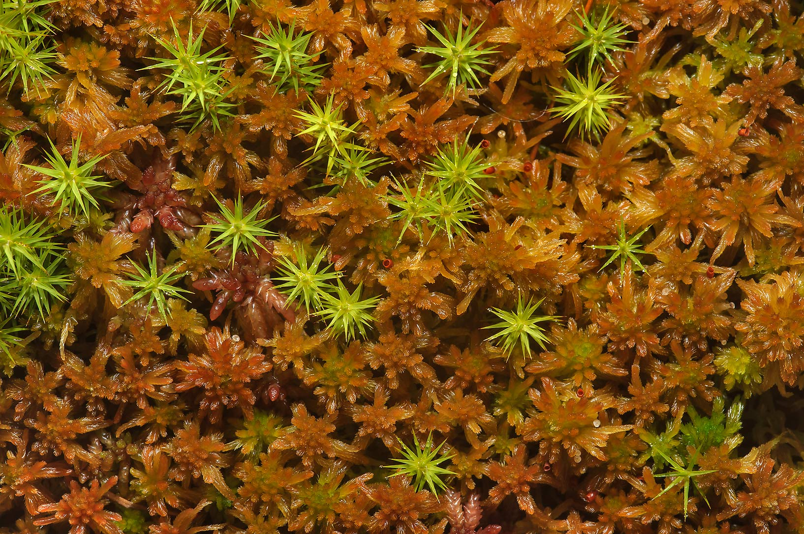 Mosses in Duplianskoe Marsh south from Sluditsy, Leningrad Region, Russia