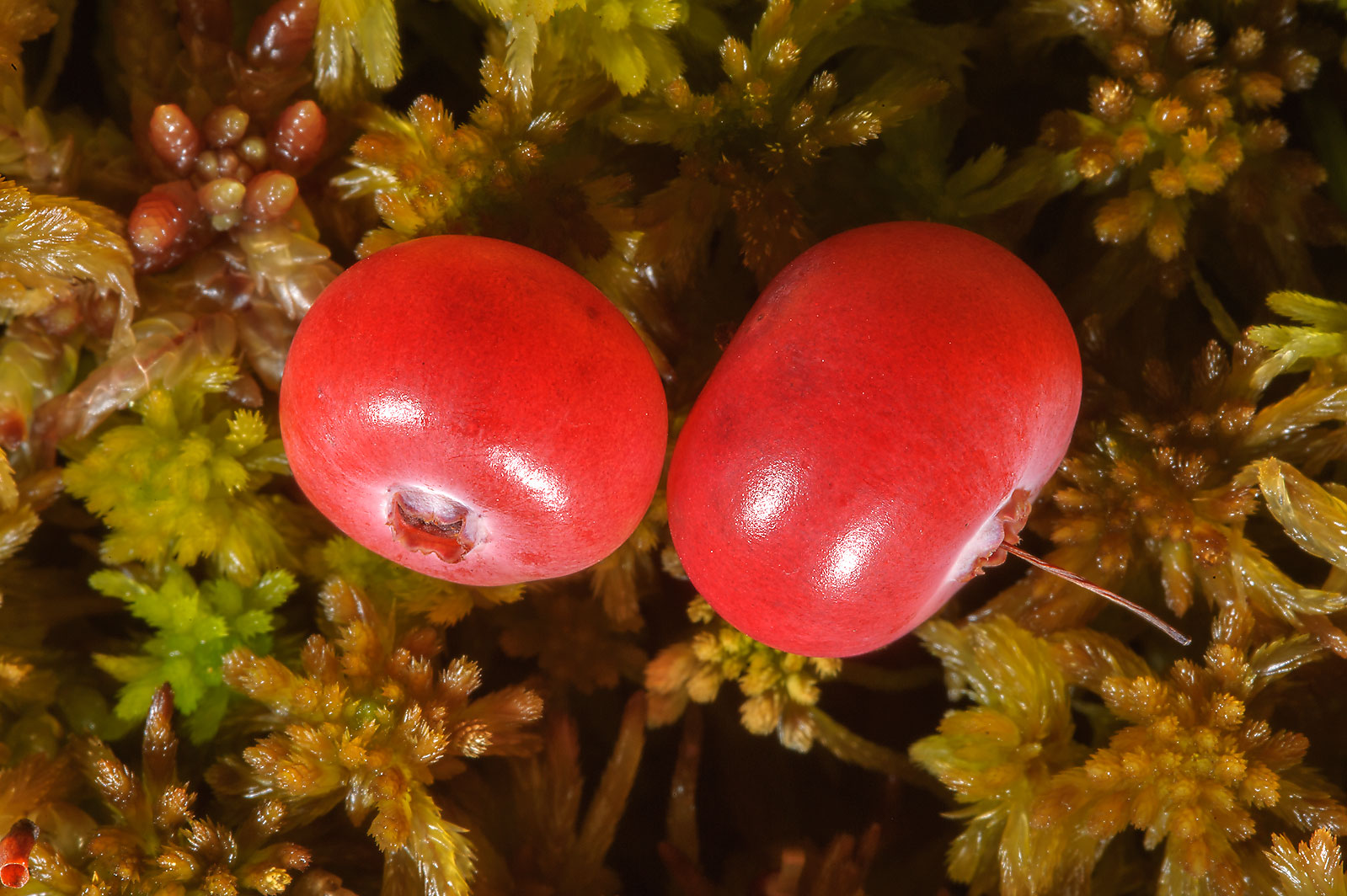 Fruits of cranberry (Oxycoccus palustris...Sluditsy, Leningrad Region, Russia