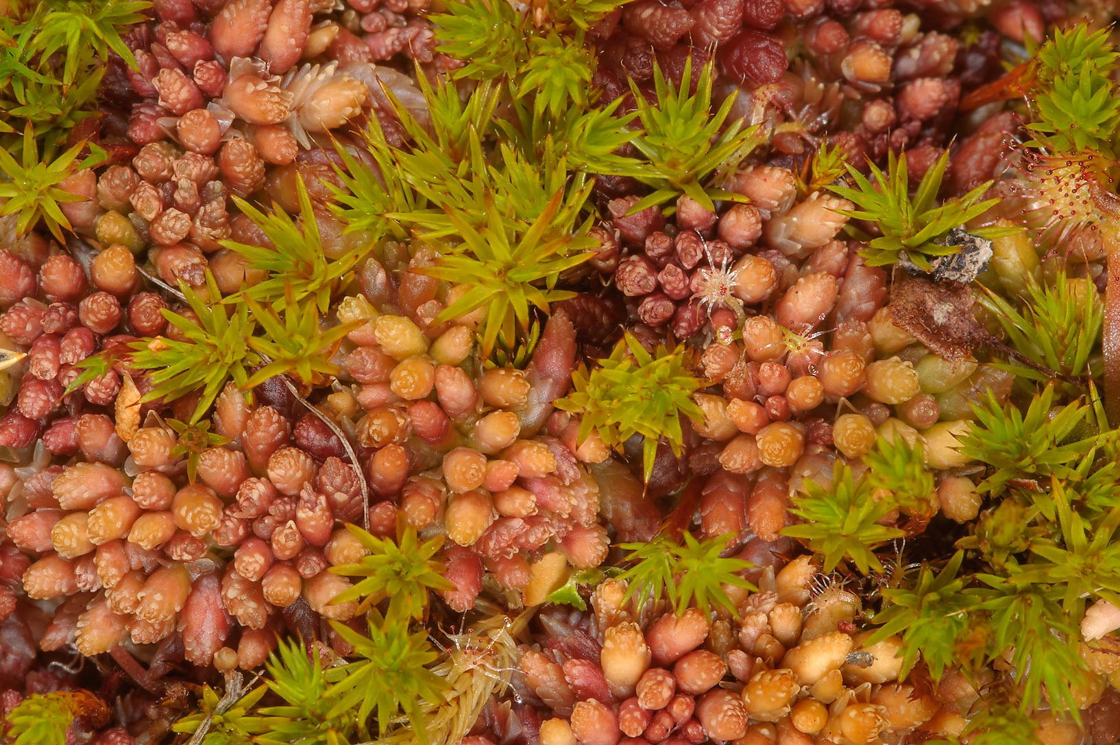 Various mosses in Duplianskoe Marsh south from Sluditsy, Leningrad Region, Russia