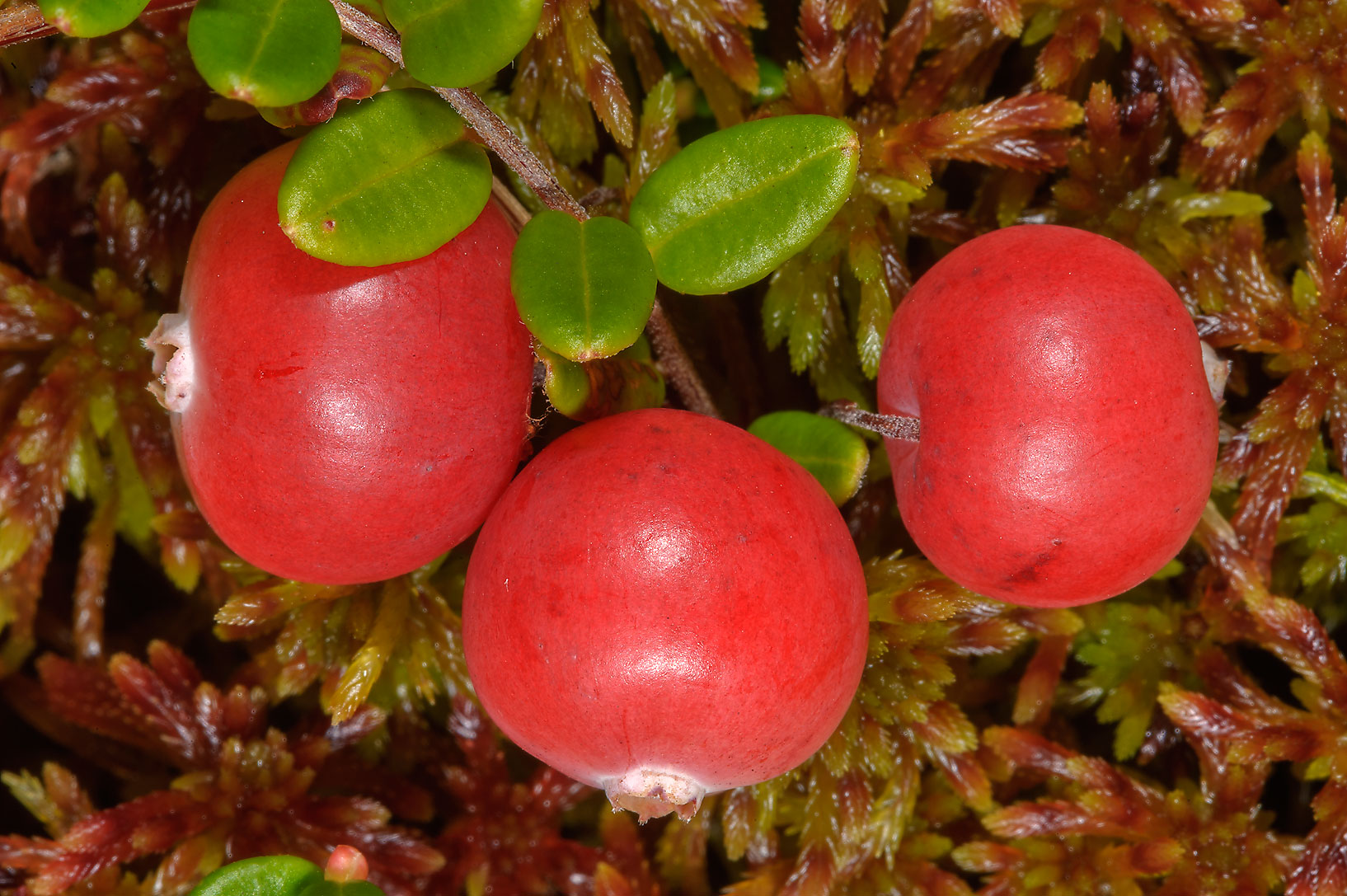 Red berries of cranberry (Oxycoccus palustris...Sluditsy, Leningrad Region, Russia