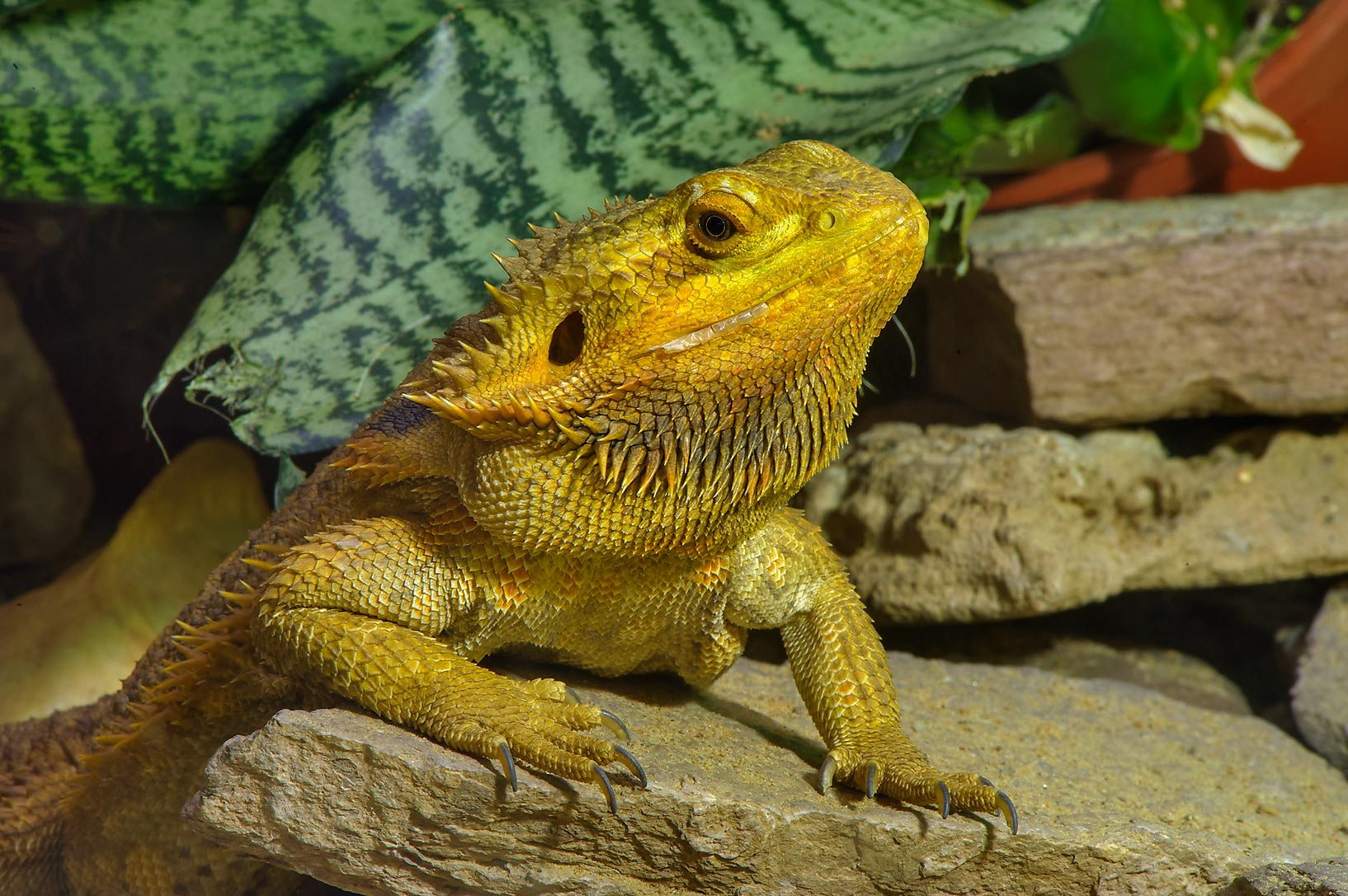 Yellow iguana in Leningrad Zoo. St.Petersburg, Russia