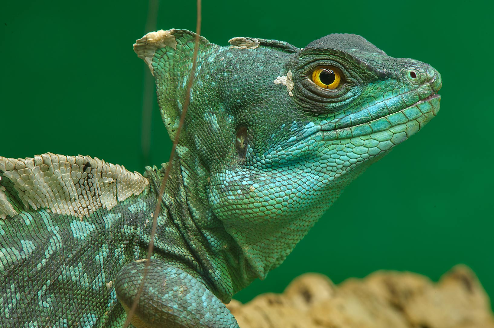 Green iguana in Leningrad Zoo. St.Petersburg, Russia
