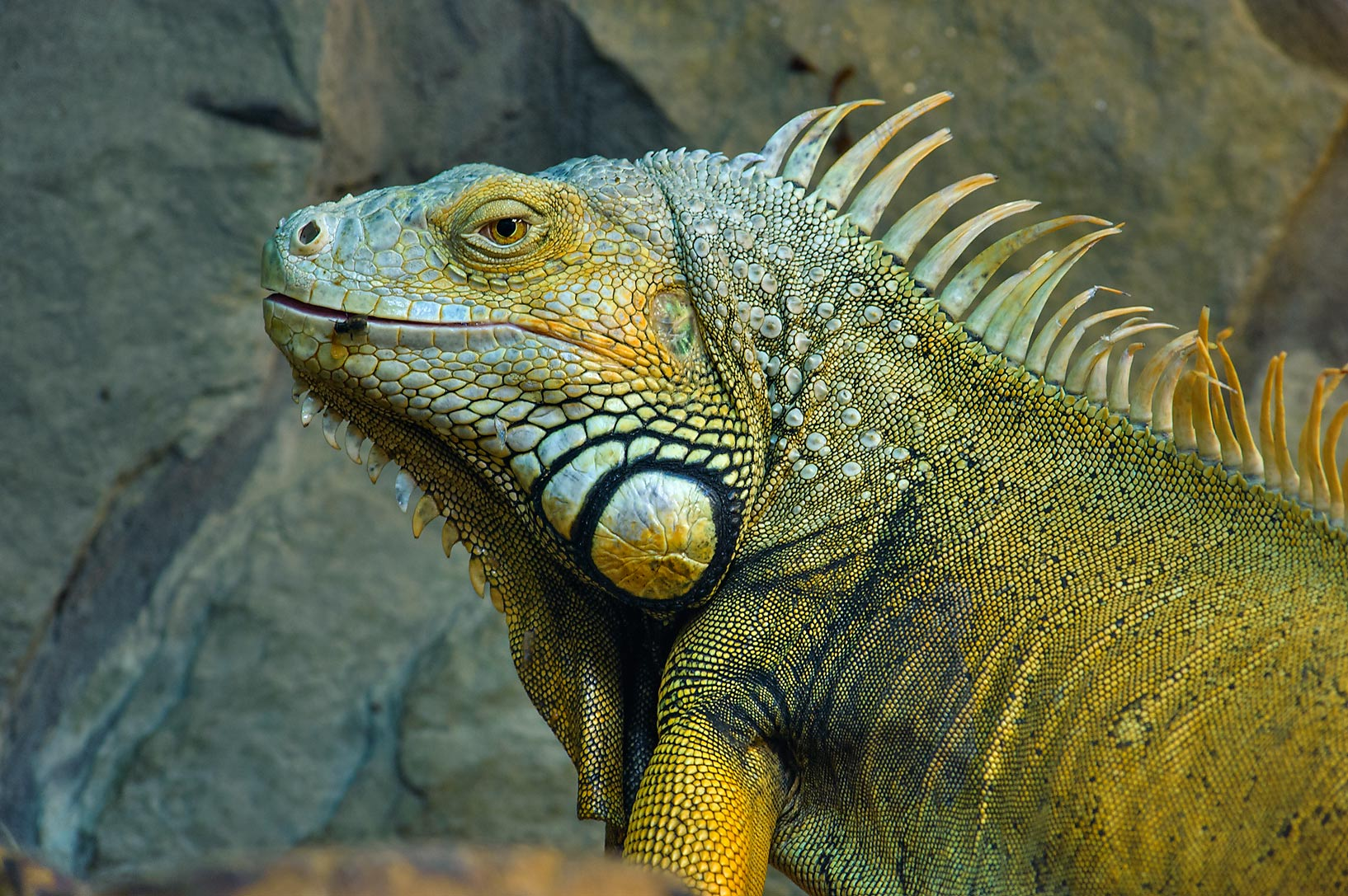 Iguana with a fly in Leningrad Zoo. St.Petersburg, Russia