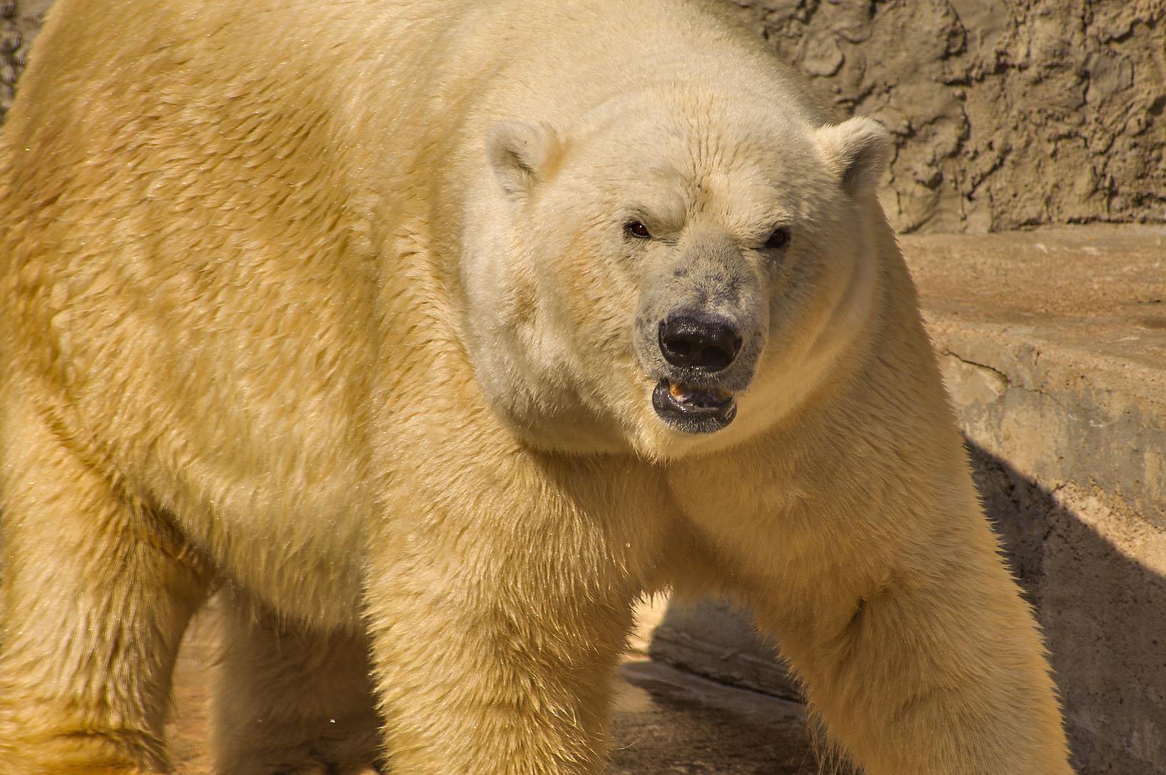 Dancing polar bear in Leningrad Zoo. St.Petersburg, Russia