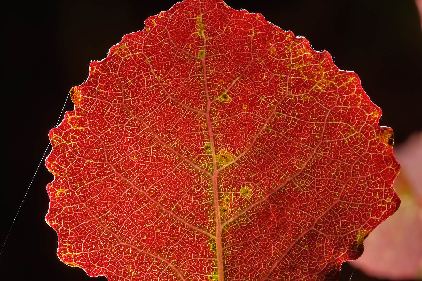 Red leaf of aspen near Lembolovo, 45 miles north from St.Petersburg. Russia