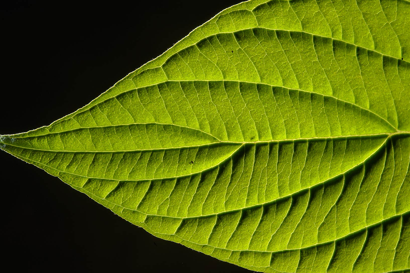 Back lit leaf of Red Stem Dogwood (Cornus...miles north from St.Petersburg. Russia