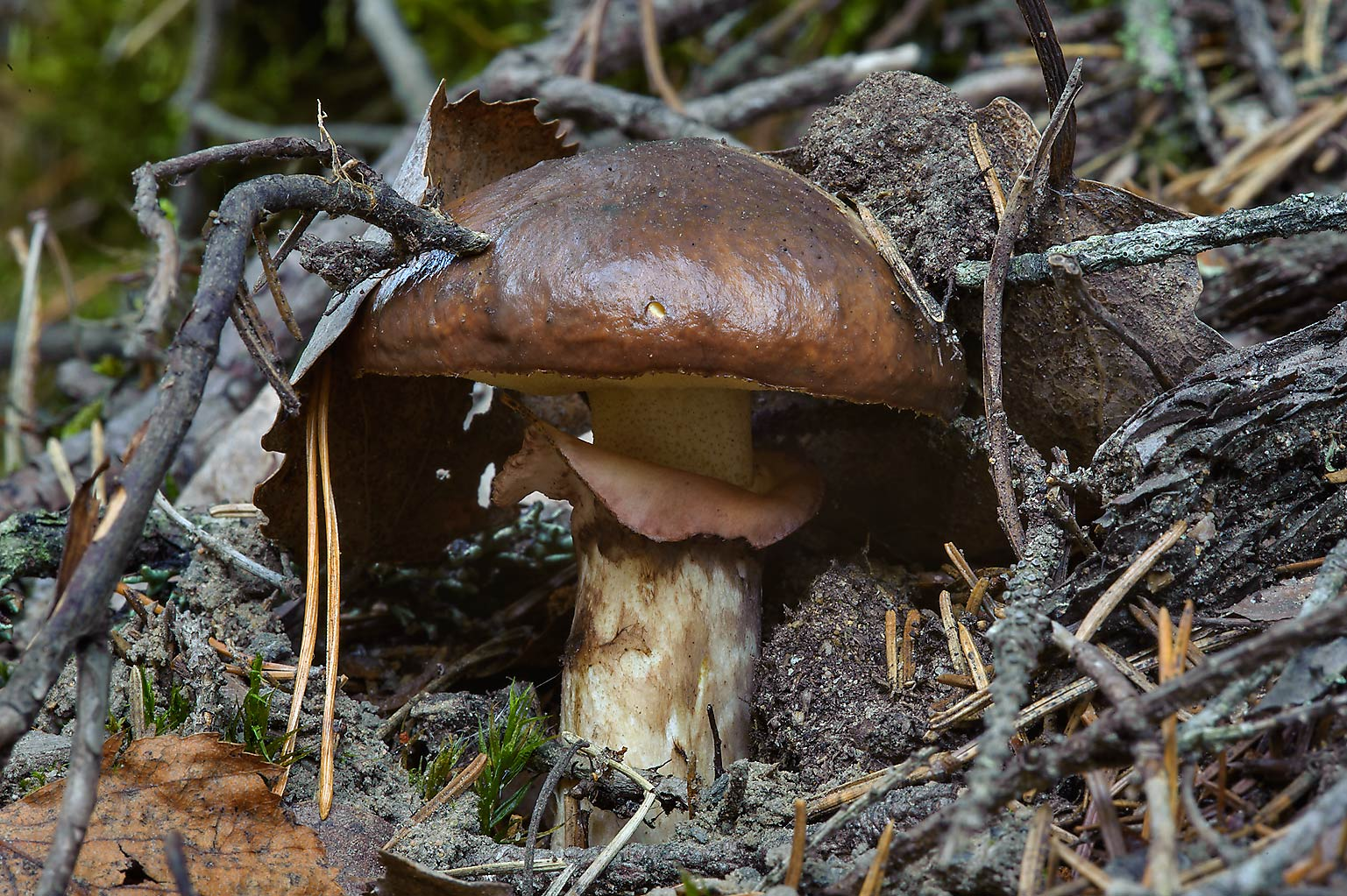Slippery Jack mushroom (Suillus luteus, Maslionok...miles north from St.Petersburg. Russia