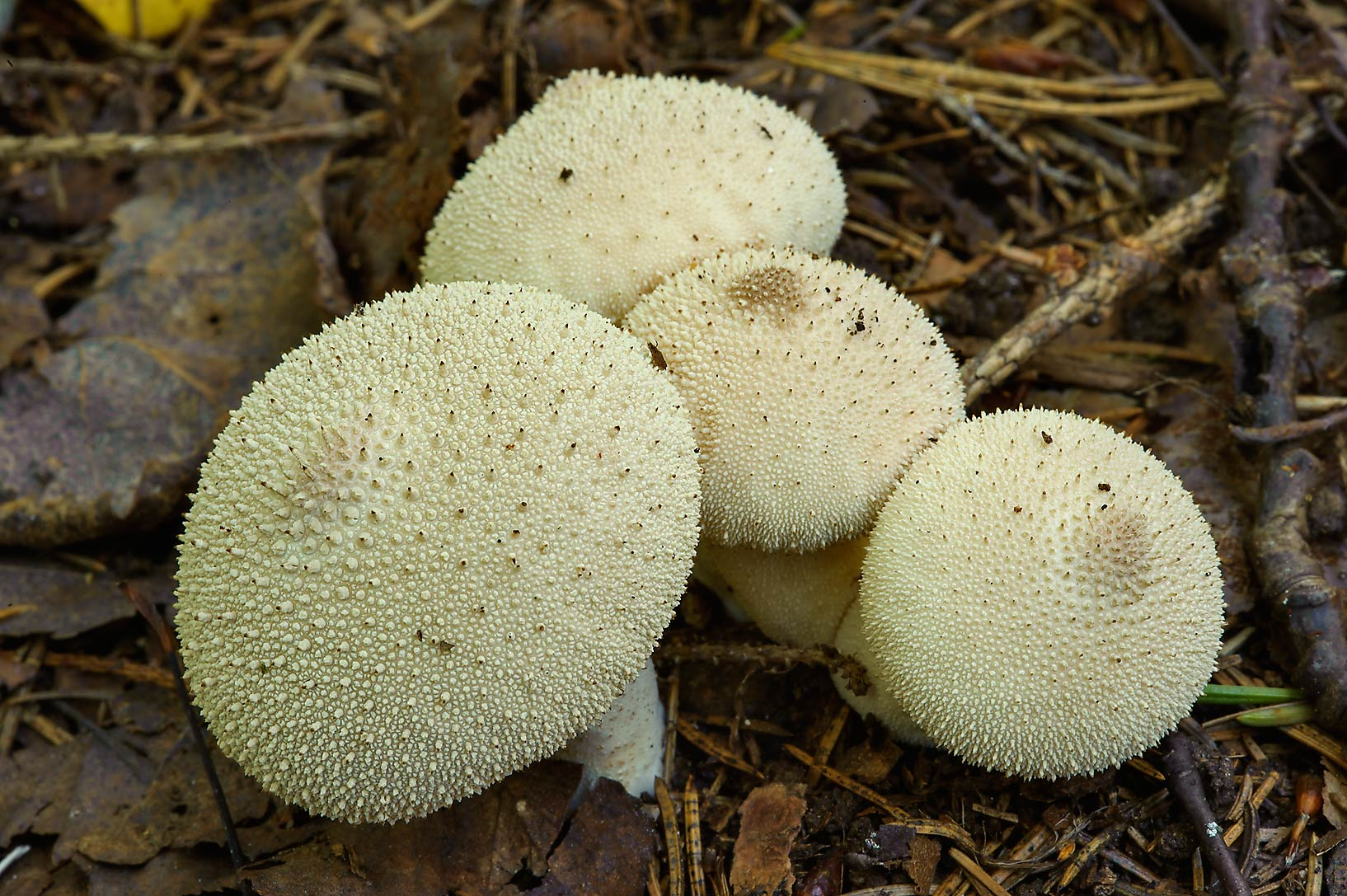 Puffball mushrooms (Lycoperdon perlatum) near...miles north from St.Petersburg. Russia