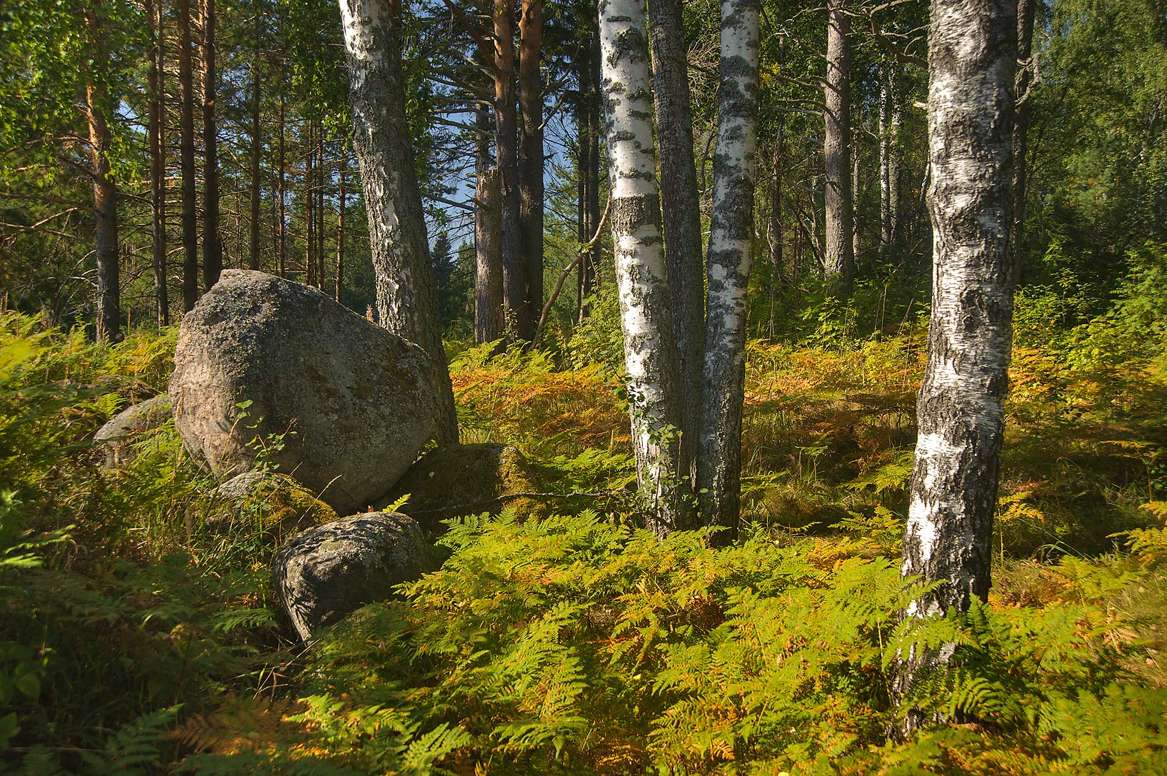 Stones and birch trees in Urochishche Teterevskoe...miles north from St.Petersburg. Russia