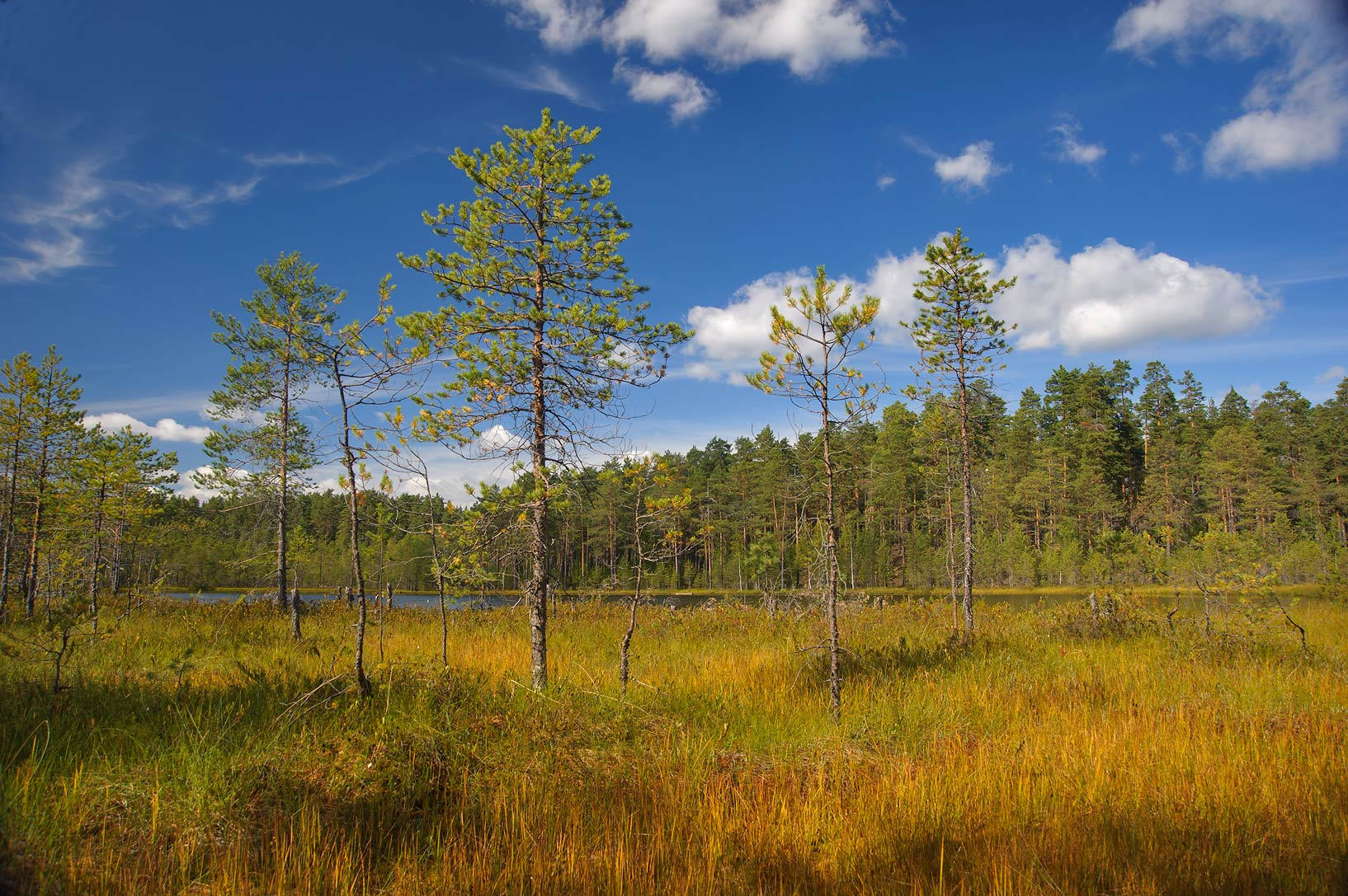 Swamp in pine forest near Orekhovo, 45 miles north from St.Petersburg. Russia