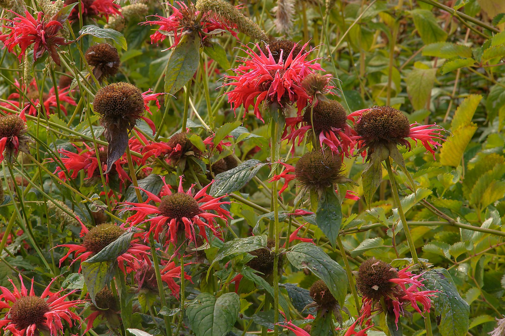 Red beebalm (Monarda) in Botanic Gardens of...Institute. St.Petersburg, Russia