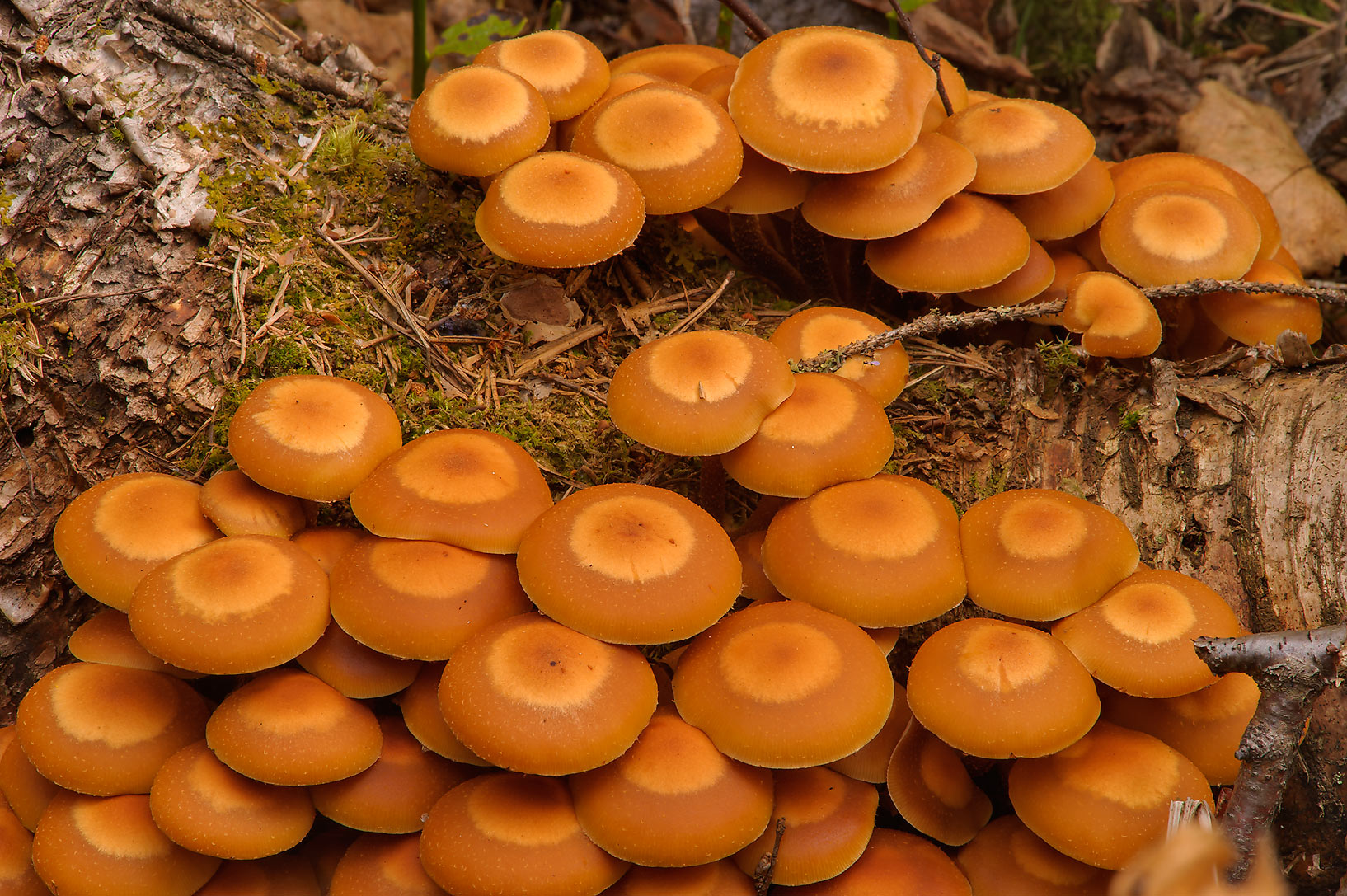 Masses of Sheathed Woodtuft mushrooms...miles north from St.Petersburg. Russia