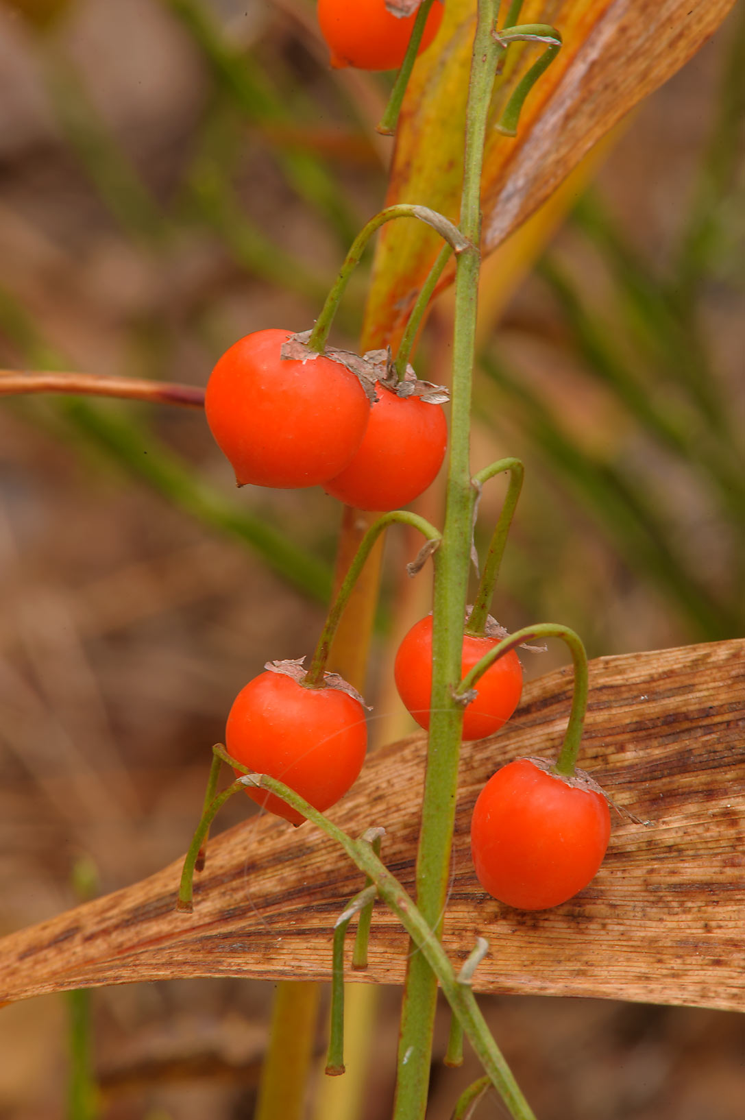 Fruits of Lily-of-the-valley (Convallaria majalis...miles north from St.Petersburg. Russia