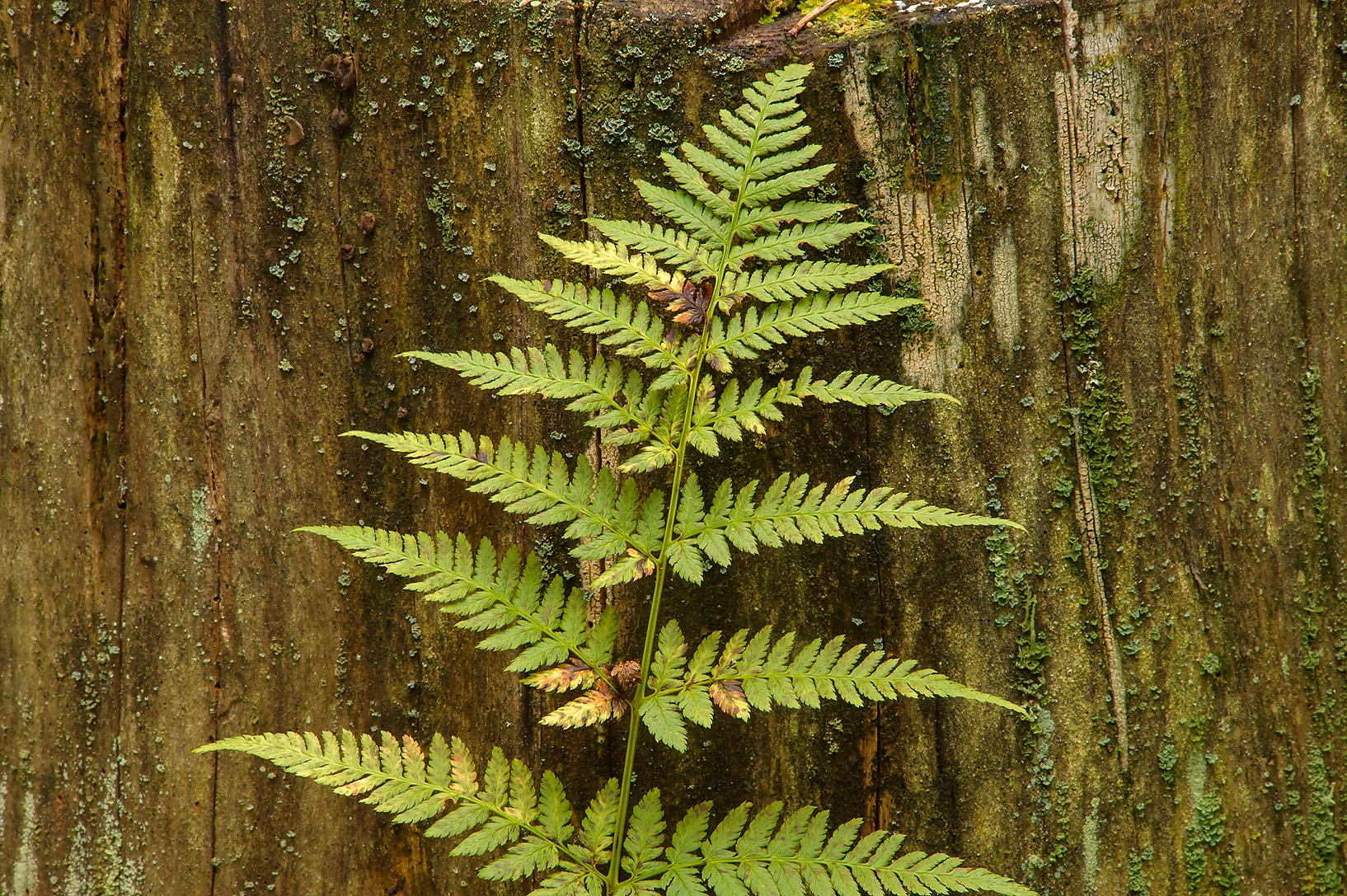 Fern leaf in Petiayarvi, 50 miles north from St.Petersburg. Russia