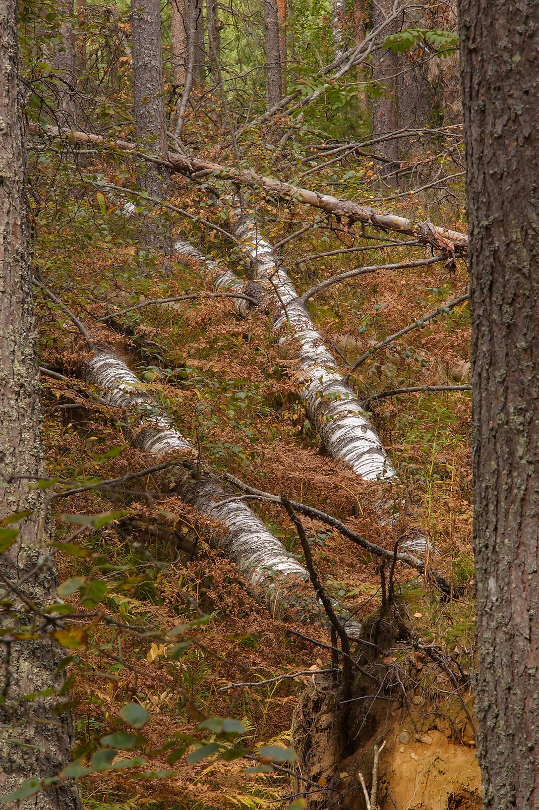 Birch logs in Petiayarvi, 50 miles north from St.Petersburg. Russia