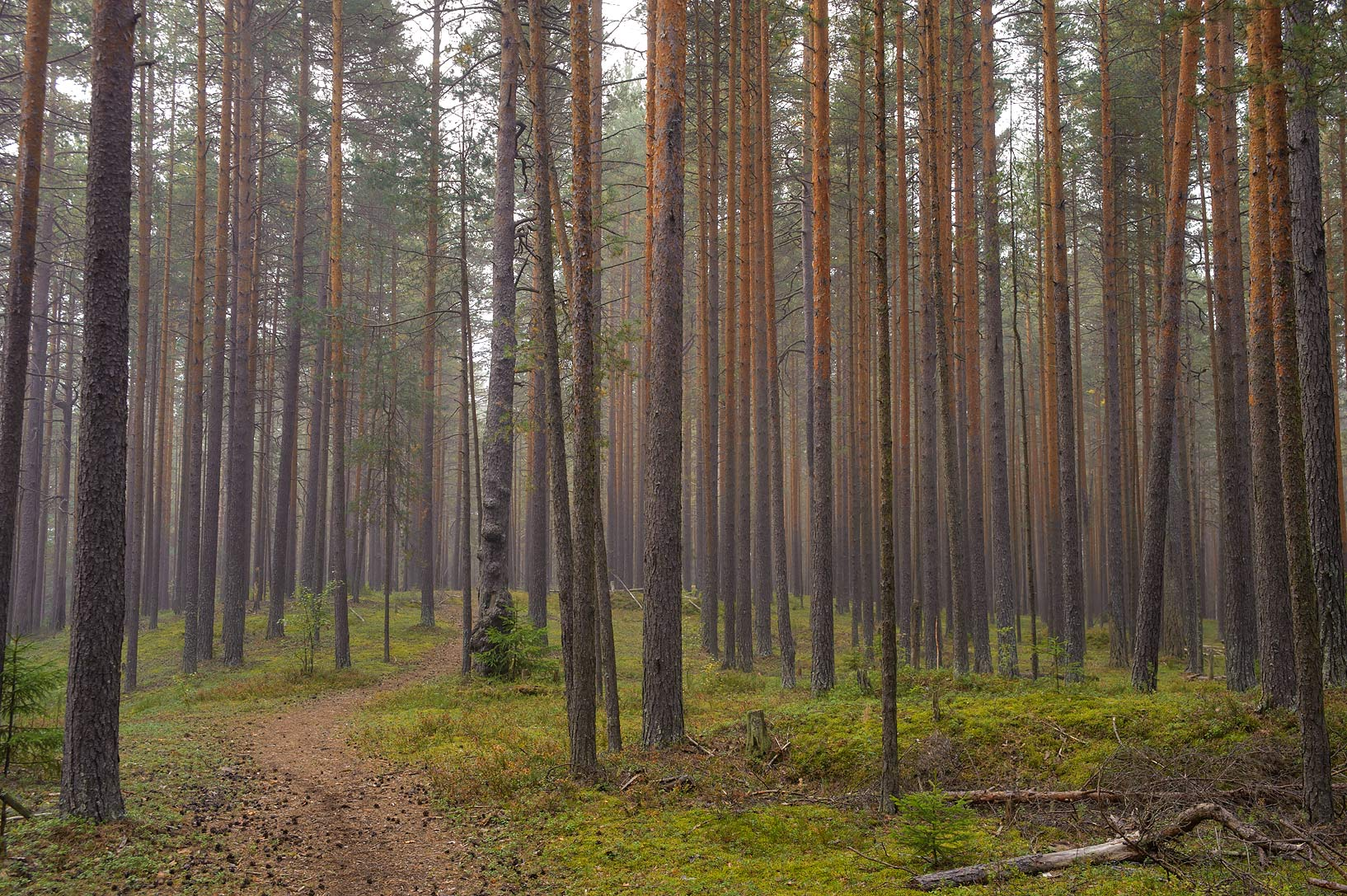 Pine tree trunks in Lembolovo, 40 miles north from St.Petersburg. Russia